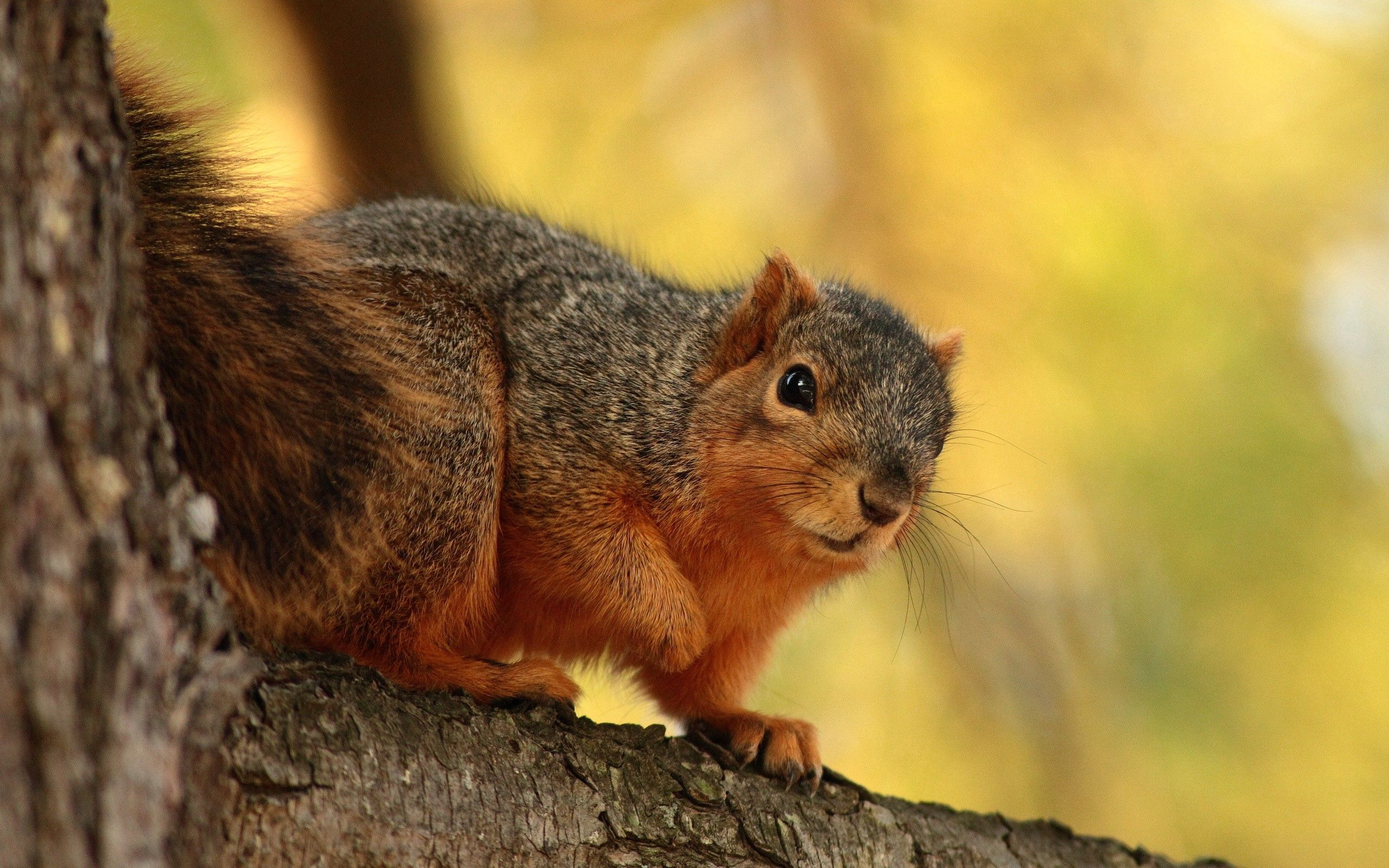 109777 download wallpaper Animals, Squirrel, Branch, Bark, Sit, Animal screensavers and pictures for free