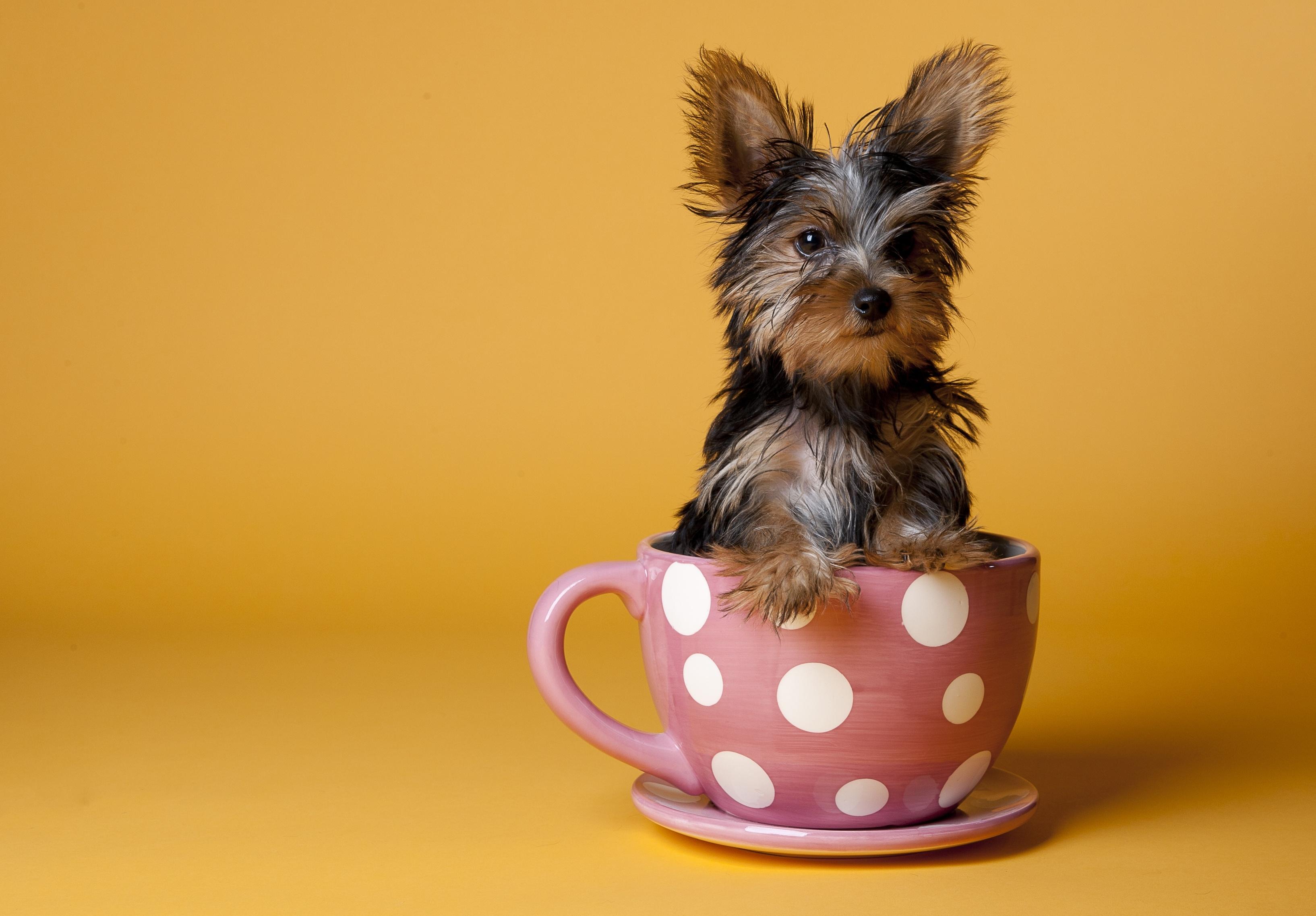 131662 скачать обои Щенок, Животные, Сидеть, Собака, Чашка, Йоркширский Терьер - заставки и картинки бесплатно