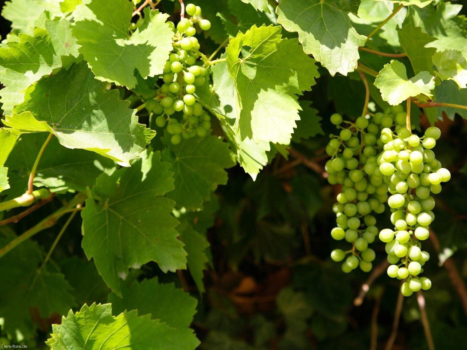 116804 скачать обои Природа, Виноград, Грозди, Листья, Зеленый, Лето - заставки и картинки бесплатно