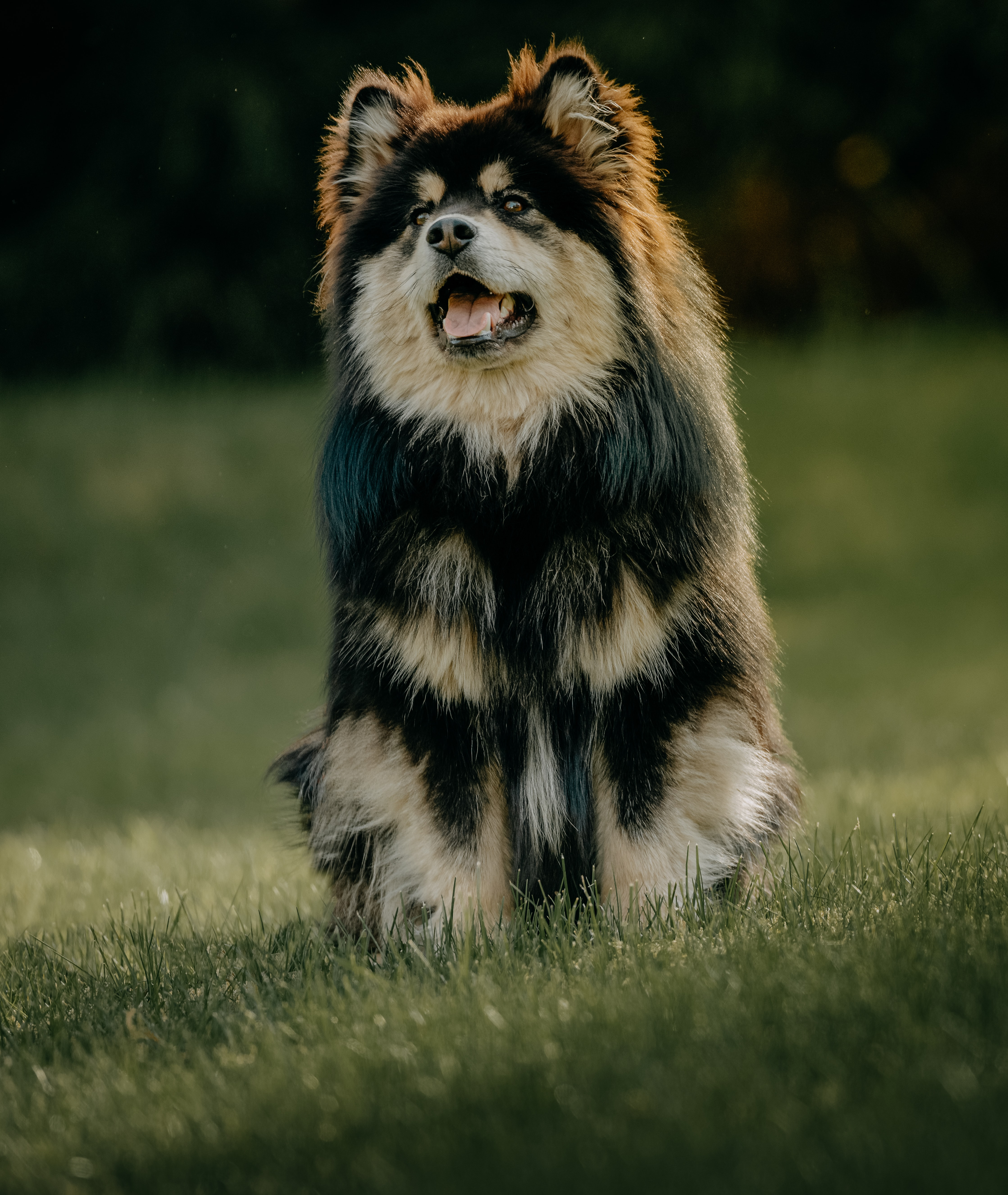 149240 download wallpaper Animals, Finnish Lapphund, Dog, Protruding Tongue, Tongue Stuck Out, Funny screensavers and pictures for free