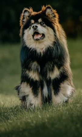 149240 Screensavers and Wallpapers Funny for phone. Download Animals, Finnish Lapphund, Dog, Protruding Tongue, Tongue Stuck Out, Funny pictures for free