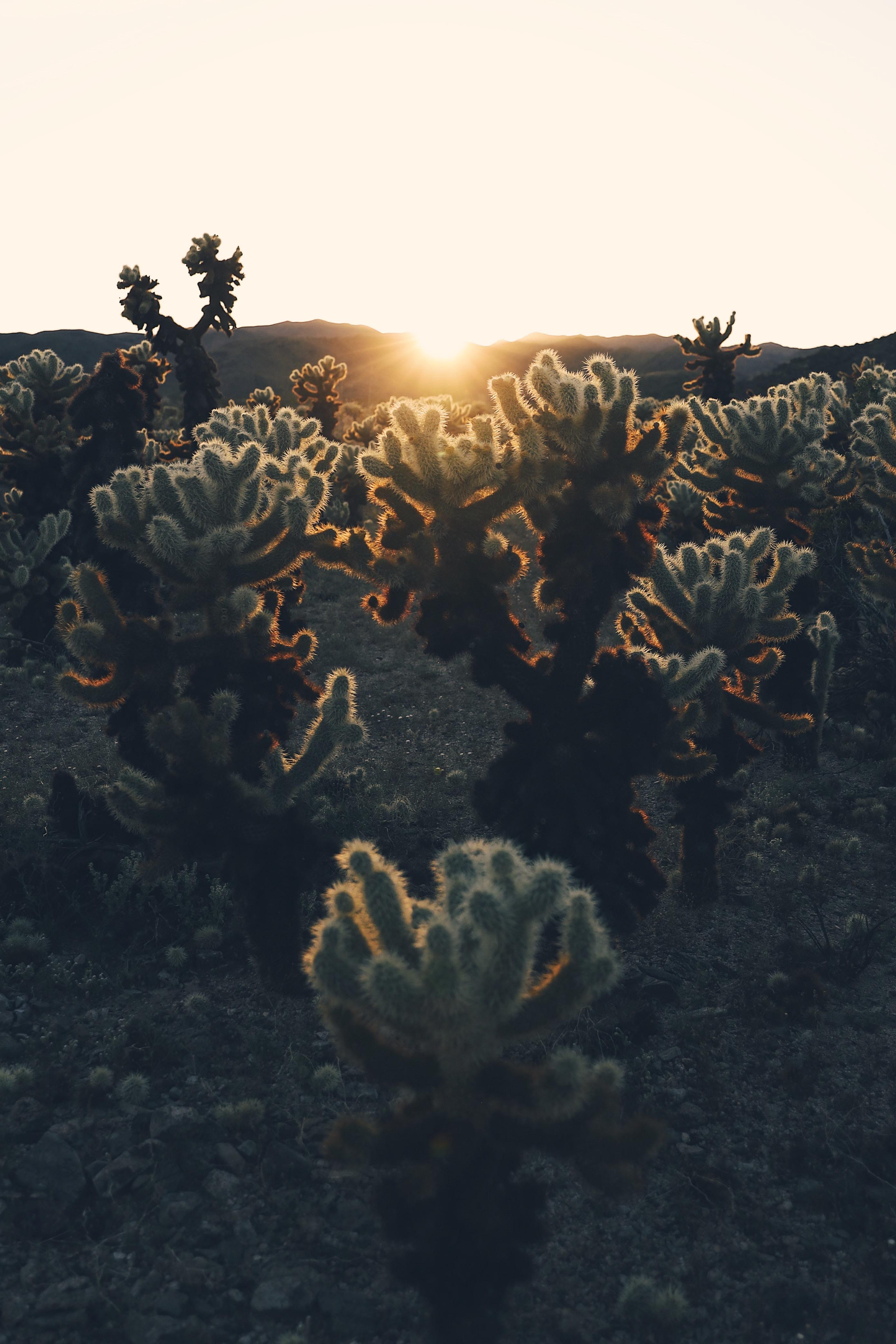 63086 скачать обои Растения, Природа, Кактусы, Закат, Солнце, Солнечный Свет - заставки и картинки бесплатно