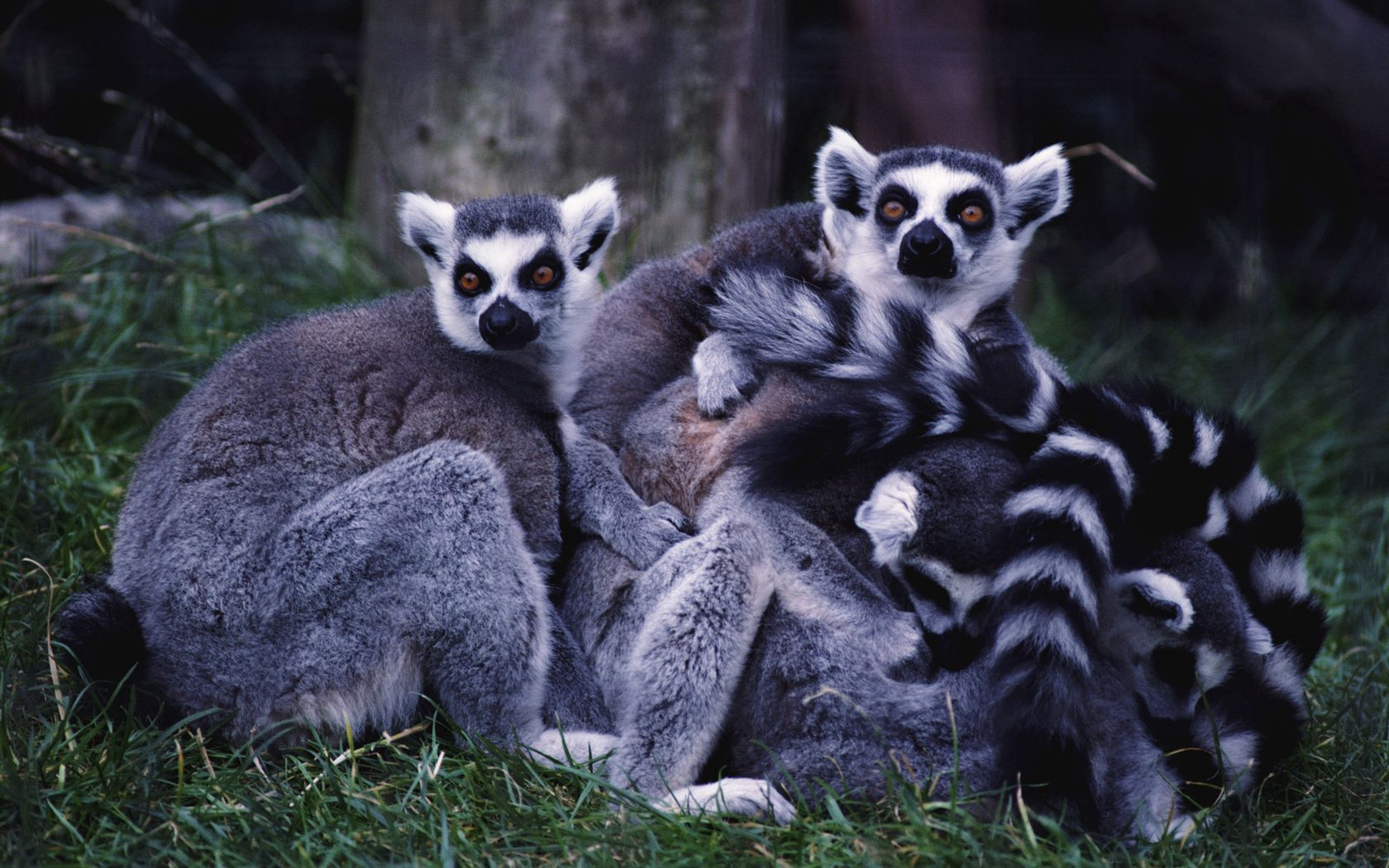 107527 Screensavers and Wallpapers Lemurs for phone. Download Animals, Grass, Lemurs, Striped, Family pictures for free