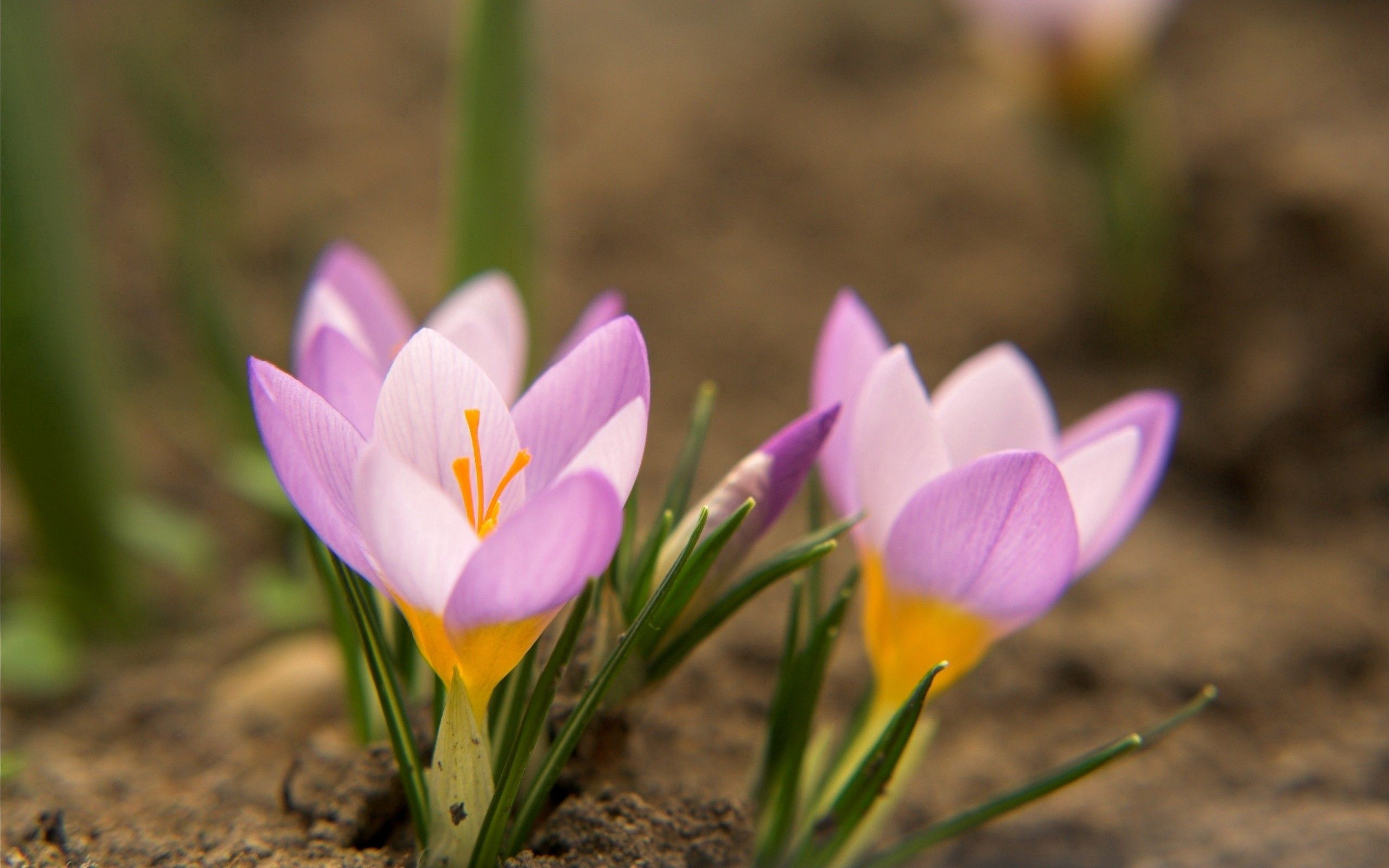 84370 download wallpaper Macro, Snowdrops, Mud, Dirt, Petals, Leaves, Flowers screensavers and pictures for free