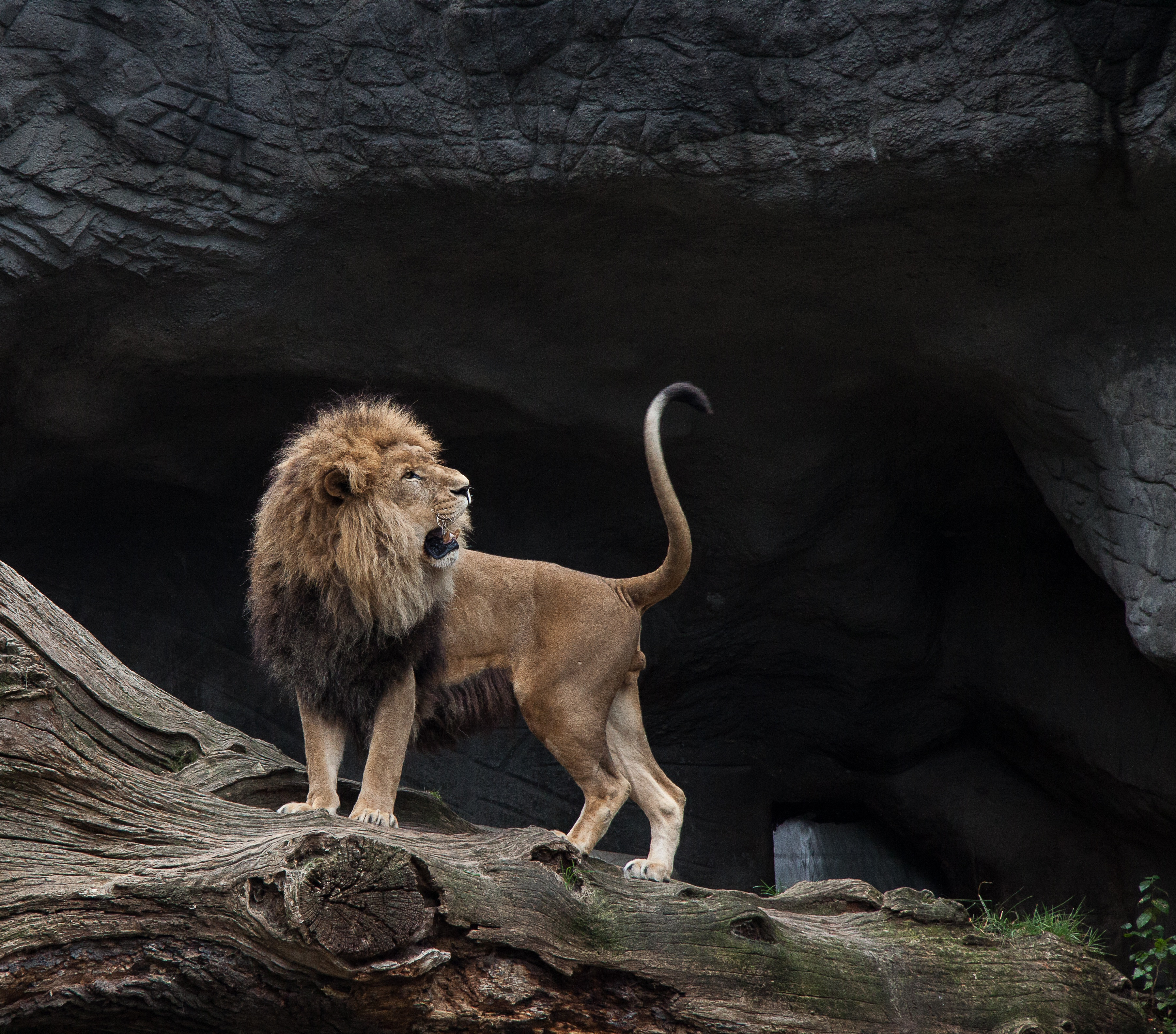 65646 fond d'écran 720x1520 sur votre téléphone gratuitement, téléchargez des images Animaux, Noyaux, Sourire, Un Lion, Lion, Prédateur 720x1520 sur votre mobile