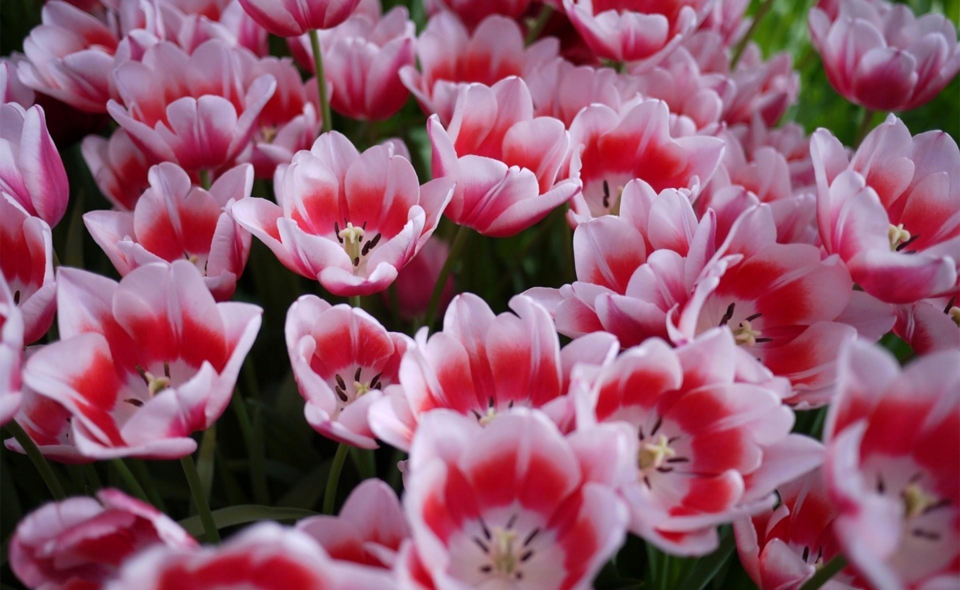 87064 скачать обои Цветы, Распущенные, Клумба, Весна, Тюльпаны - заставки и картинки бесплатно