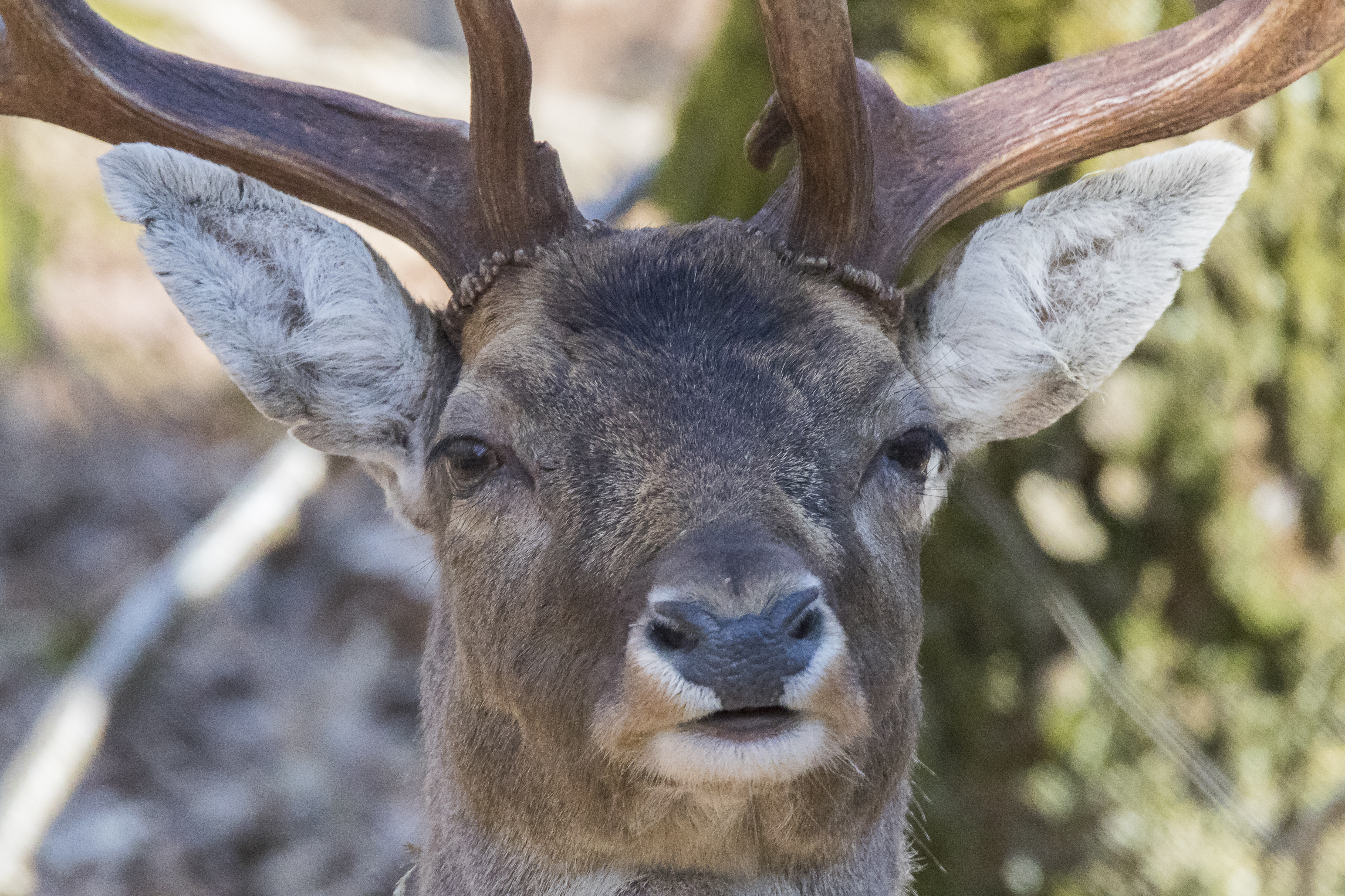 67189 download wallpaper Animals, Deer, Doe, Fallow Deer, Muzzle, Horns screensavers and pictures for free