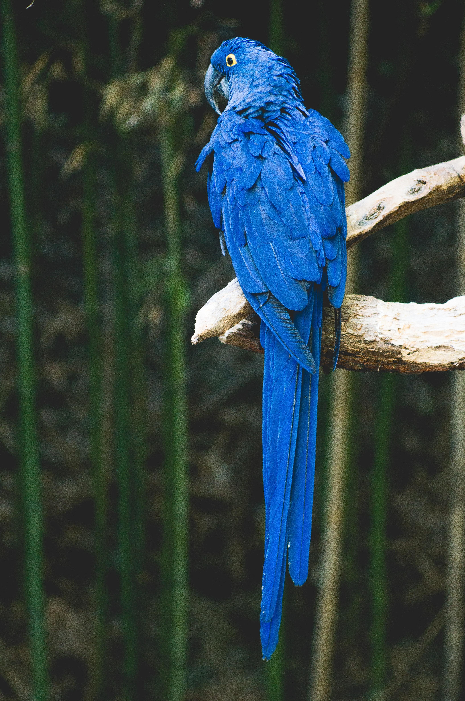 96973 Заставки и Обои Попугаи на телефон. Скачать Попугаи, Животные, Птица, Синий, Ветка картинки бесплатно