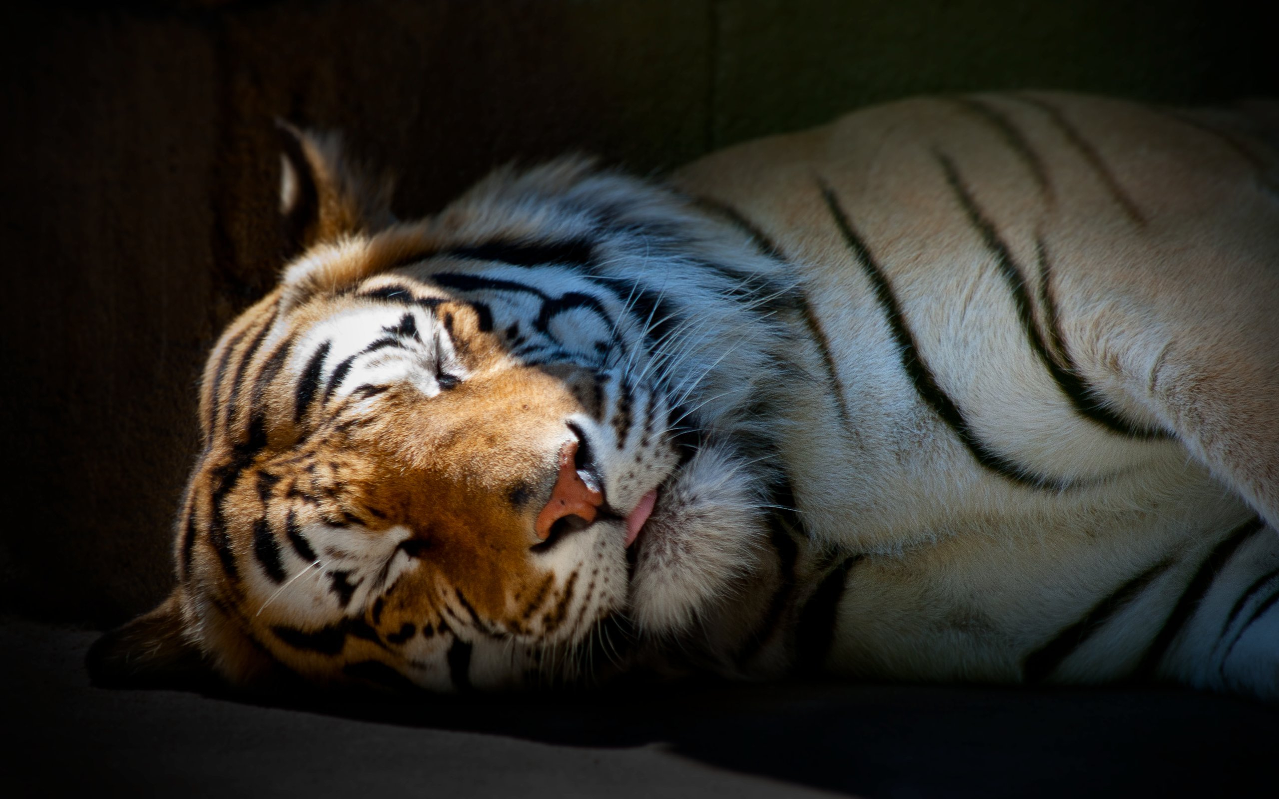 43267 download wallpaper Animals, Tigers screensavers and pictures for free
