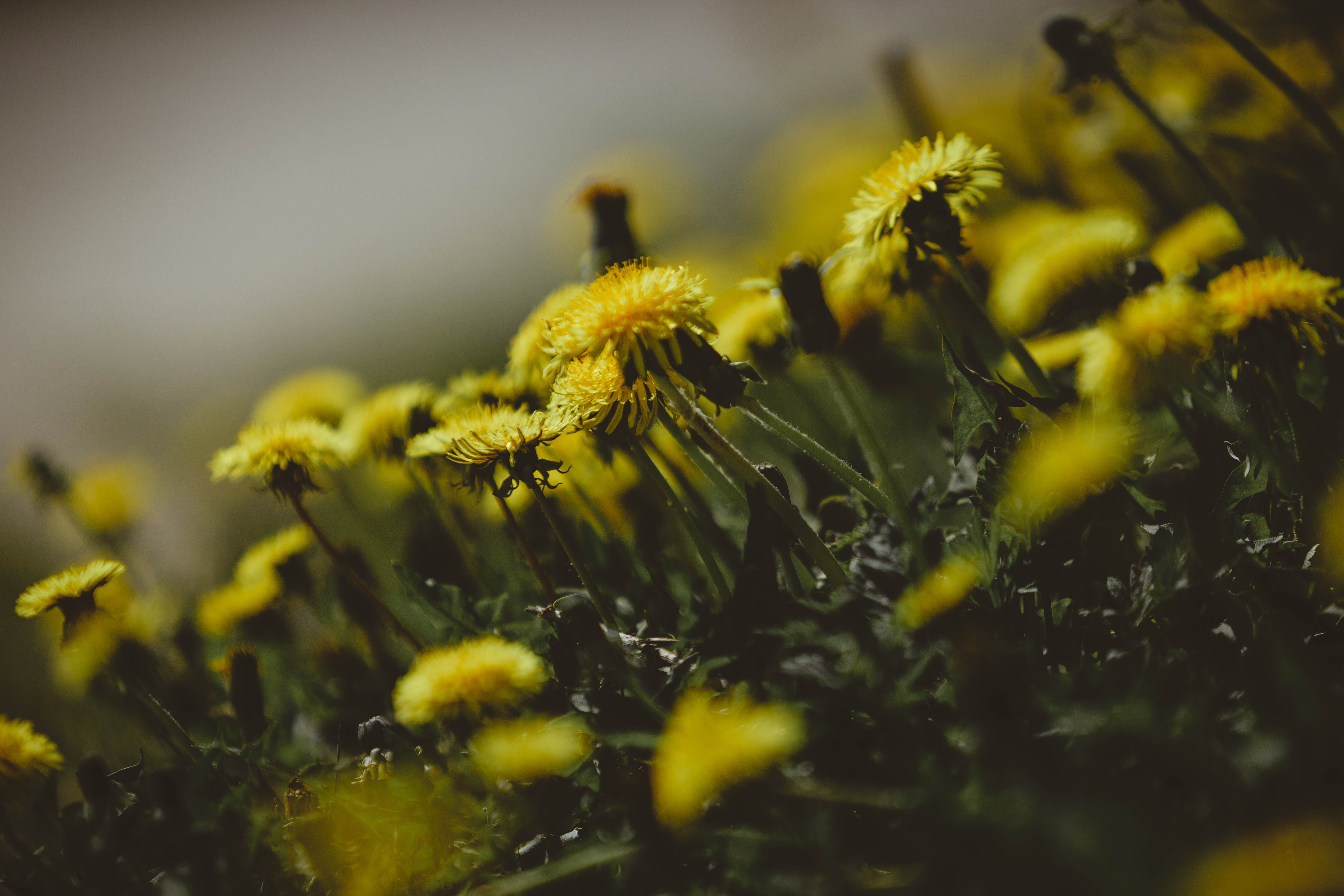 106225 download wallpaper Flowers, Grass, Dandelions, Close-Up screensavers and pictures for free