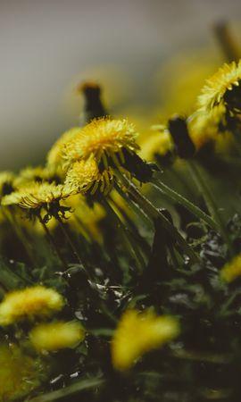 106225 скачать обои Цветы, Одуванчики, Трава, Крупным Планом - заставки и картинки бесплатно