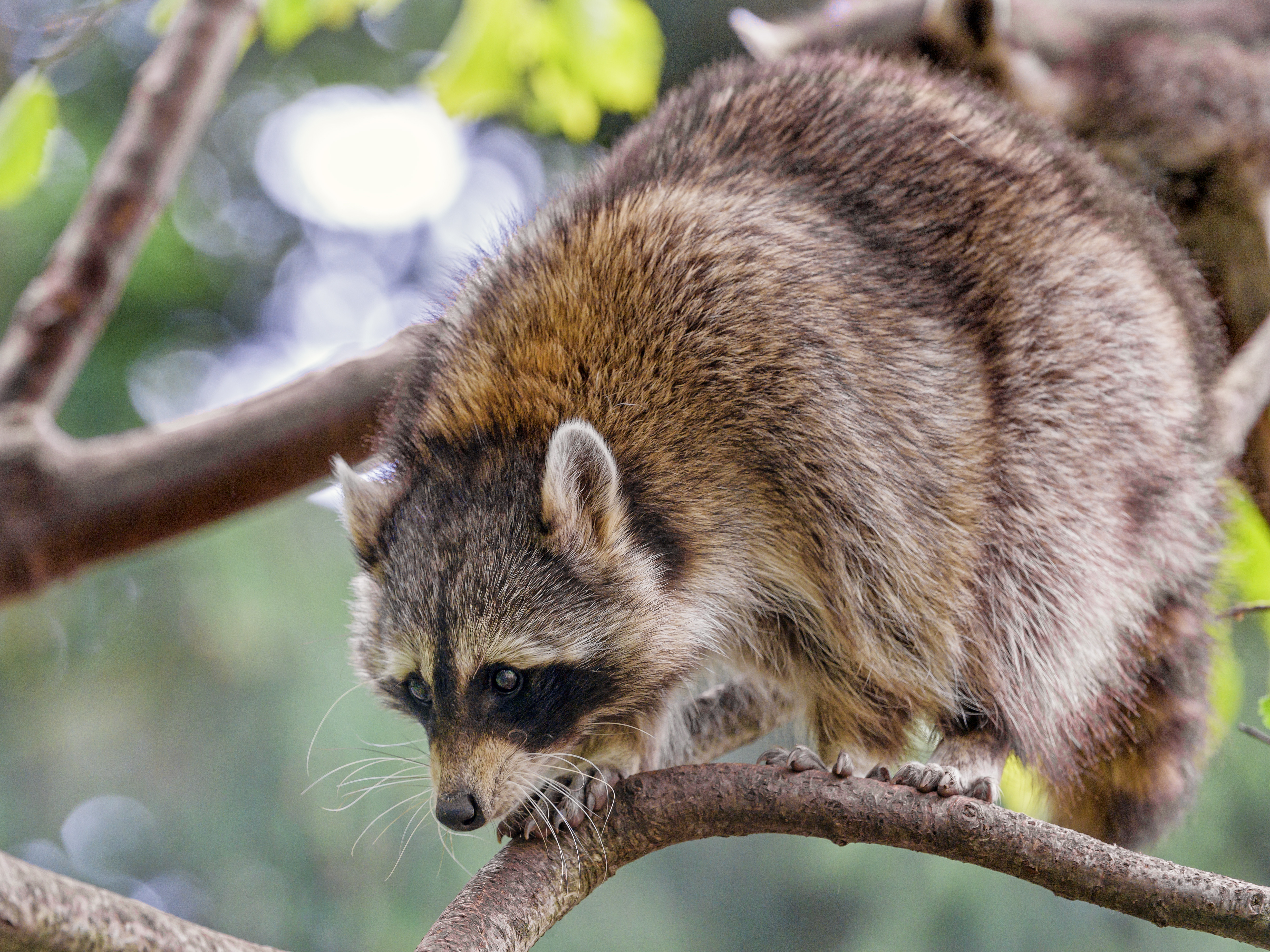 90296 Screensavers and Wallpapers Raccoon for phone. Download Funny, Animals, Branch, Animal, Raccoon pictures for free