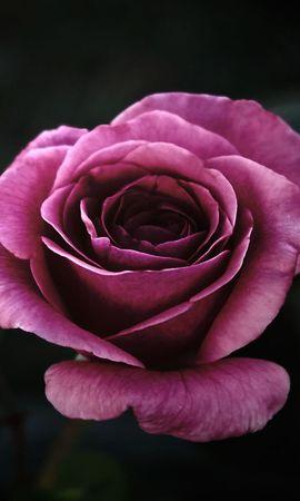 2551 скачать обои Растения, Цветы, Розы - заставки и картинки бесплатно