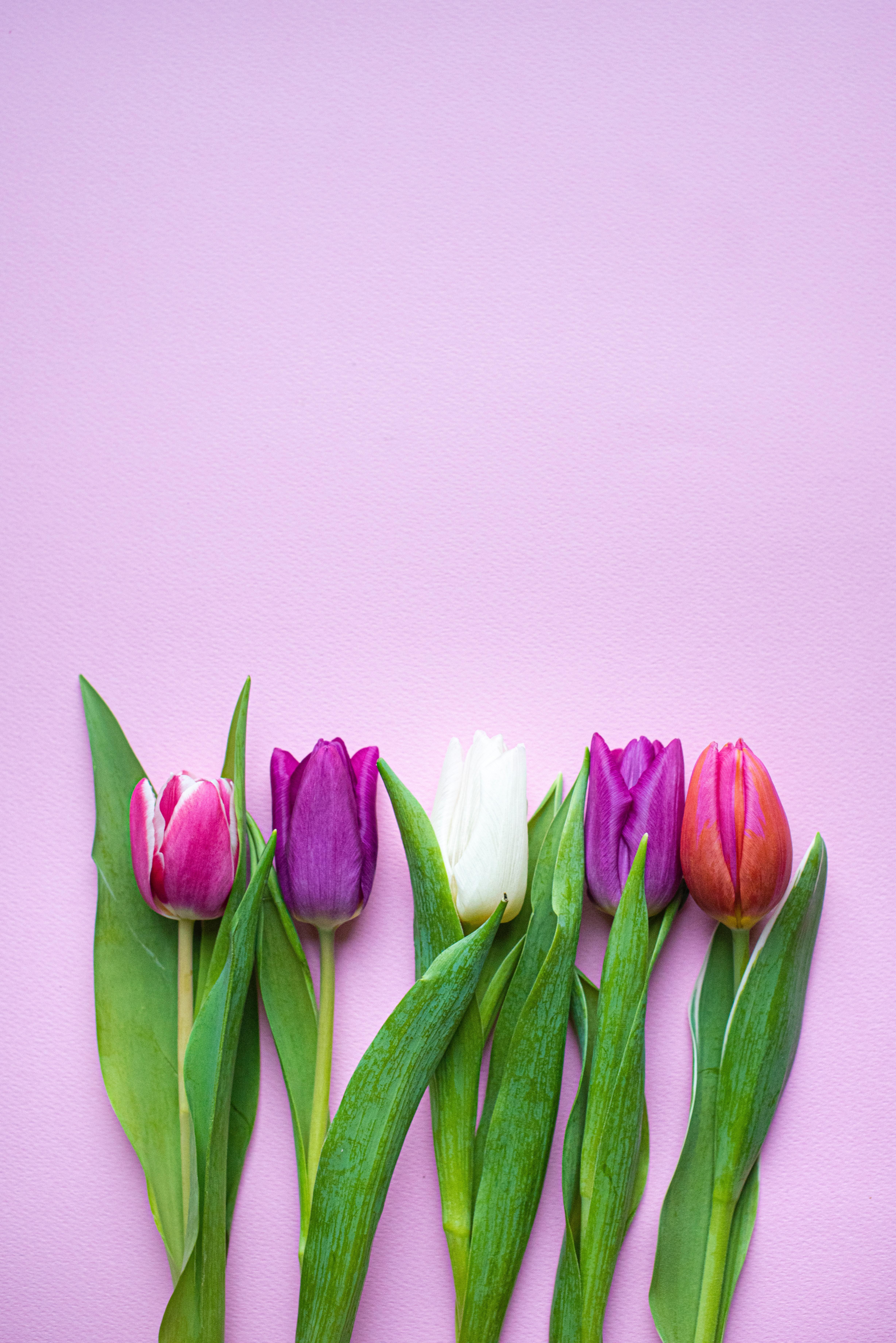 138534 скачать обои Цветы, Растения, Цветение, Весна, Тюльпаны - заставки и картинки бесплатно
