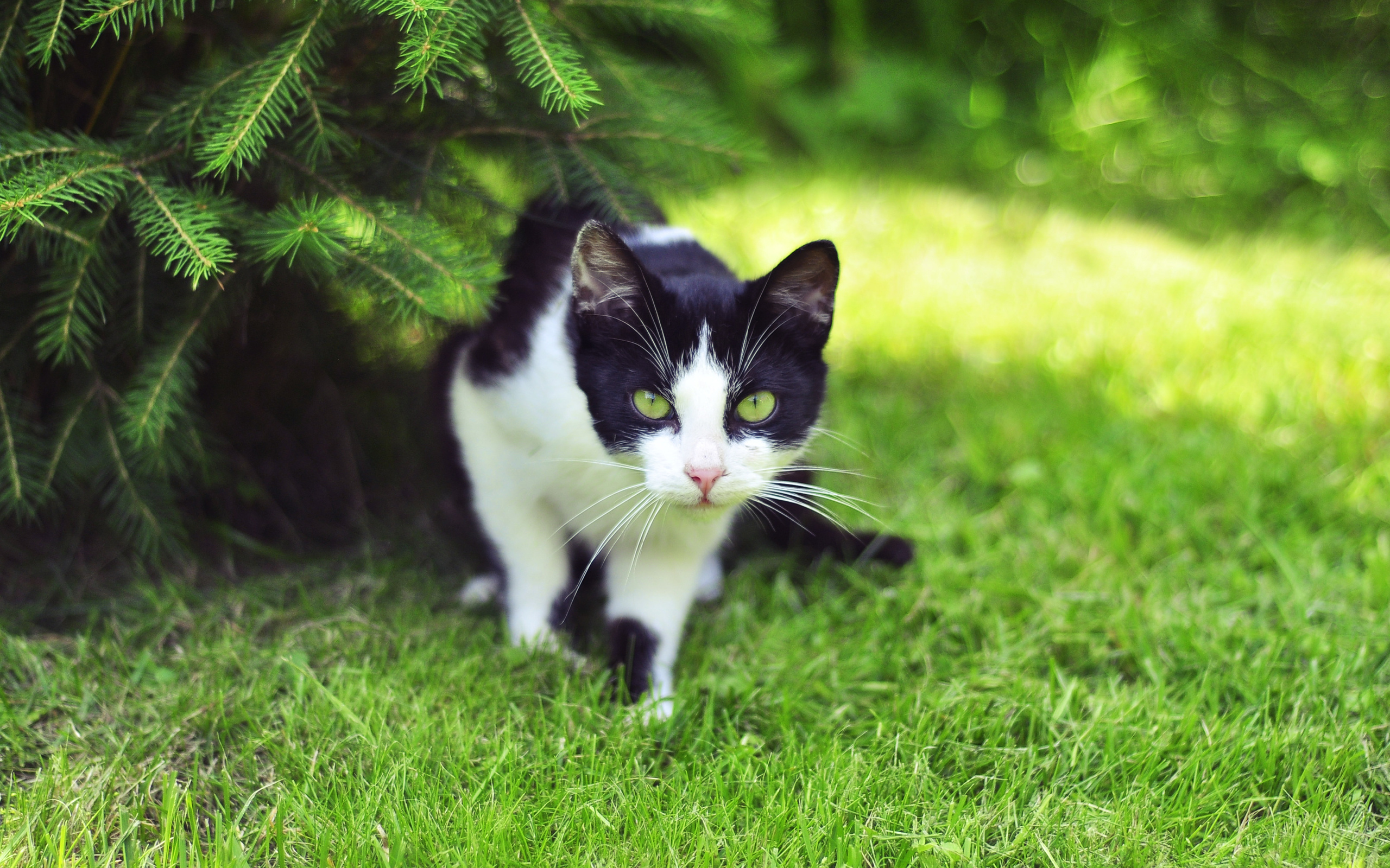 49637 download wallpaper Animals, Cats screensavers and pictures for free