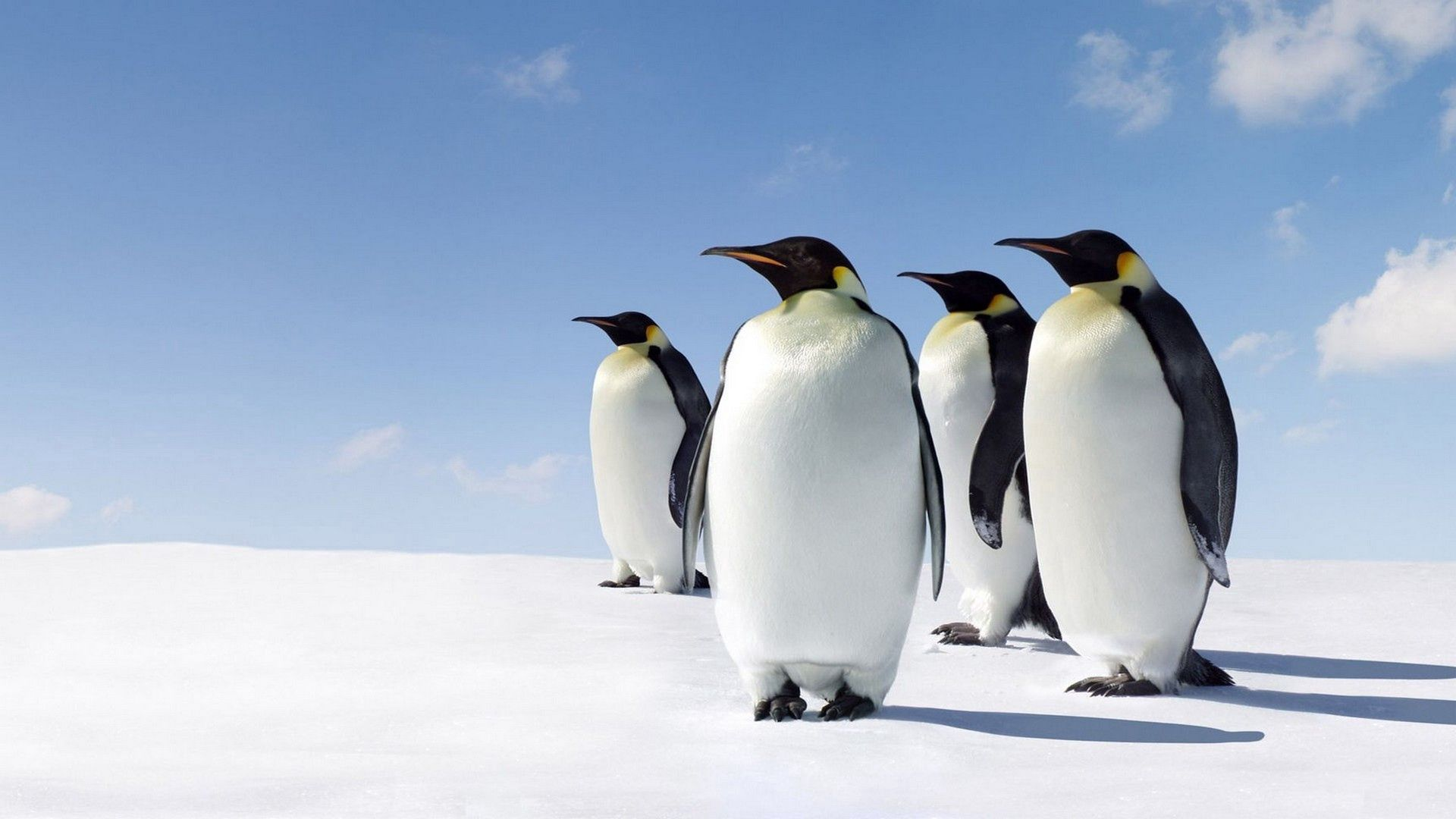 71903 download wallpaper Animals, Pinguins, Snow, Stroll screensavers and pictures for free