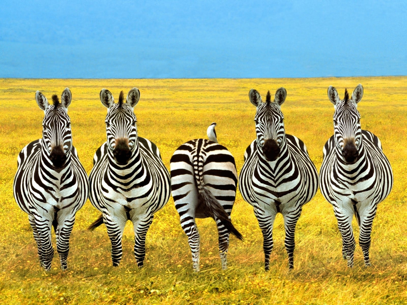44398 download wallpaper Animals, Fields, Zebra screensavers and pictures for free