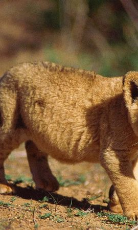 3910 download wallpaper Animals, Lions screensavers and pictures for free
