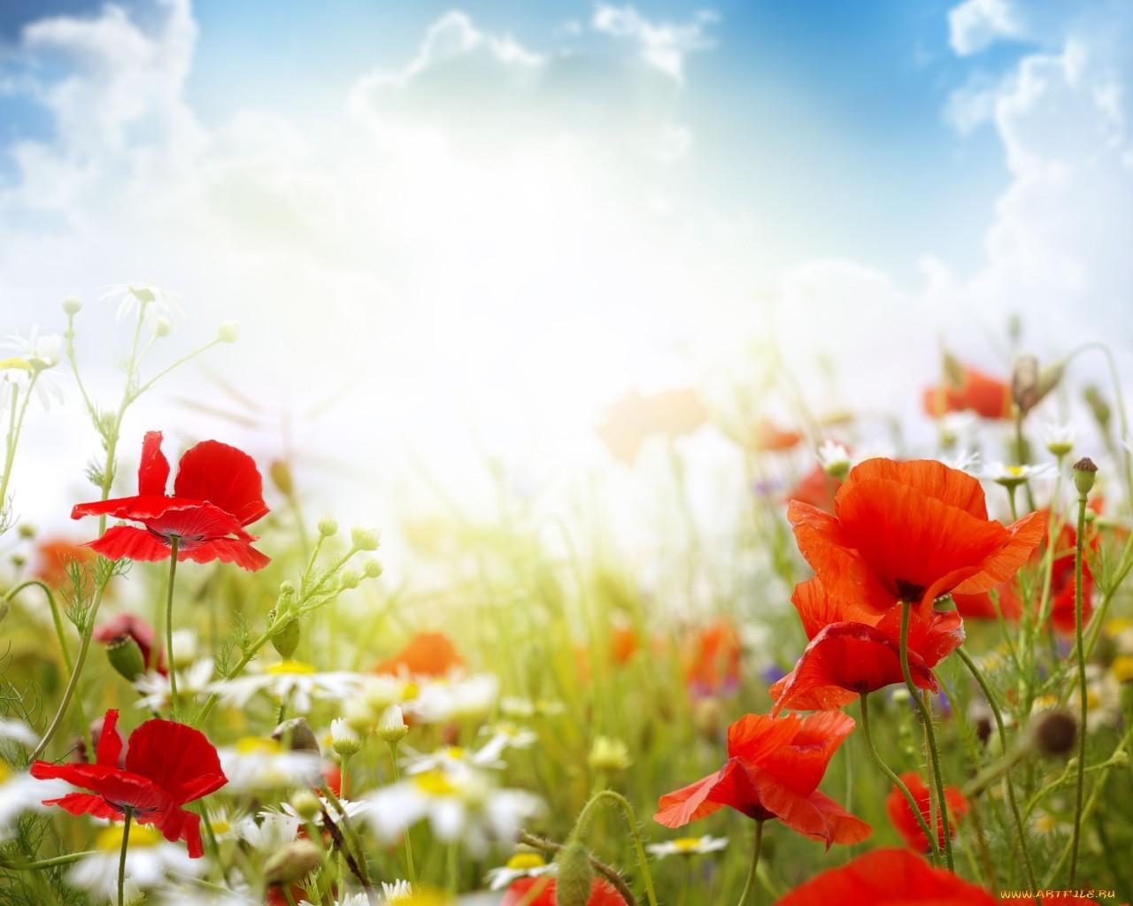 Скачать картинку Маки, Солнце, Облака, Растения, Цветы в телефон бесплатно.