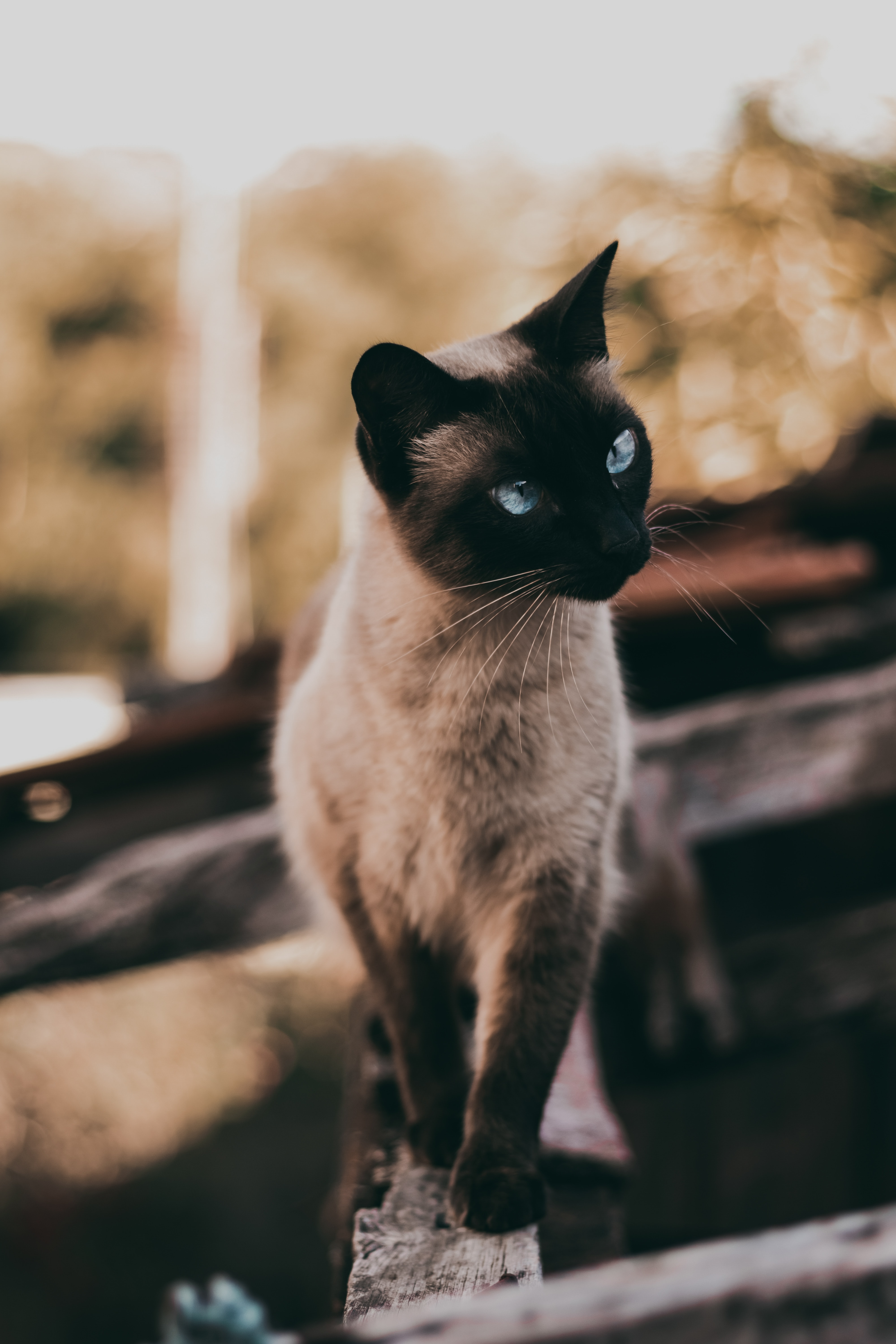 111165 Screensavers and Wallpapers Pet for phone. Download Animals, Cat, Siamese, Sight, Opinion, Animal, Pet pictures for free