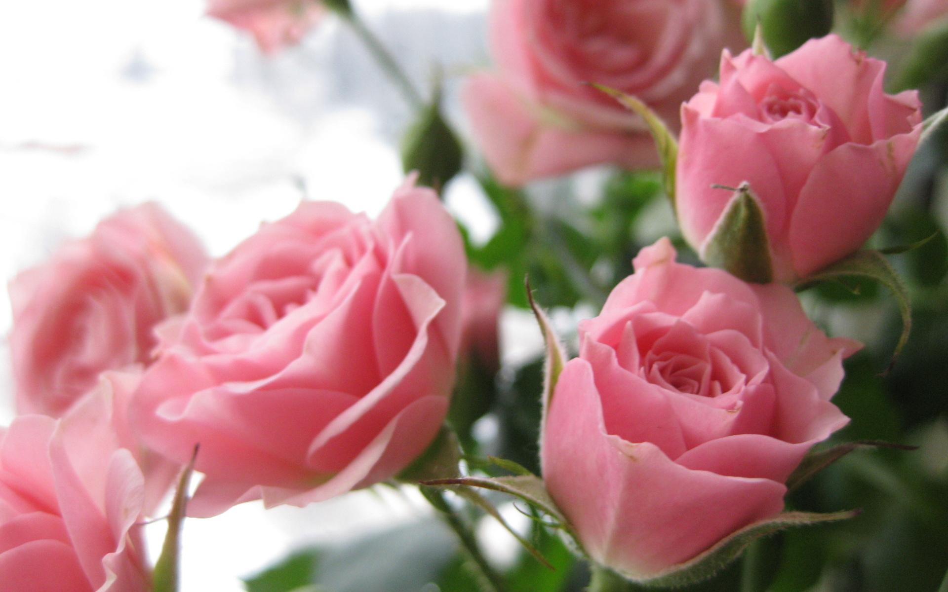33046 скачать обои Растения, Цветы, Розы - заставки и картинки бесплатно