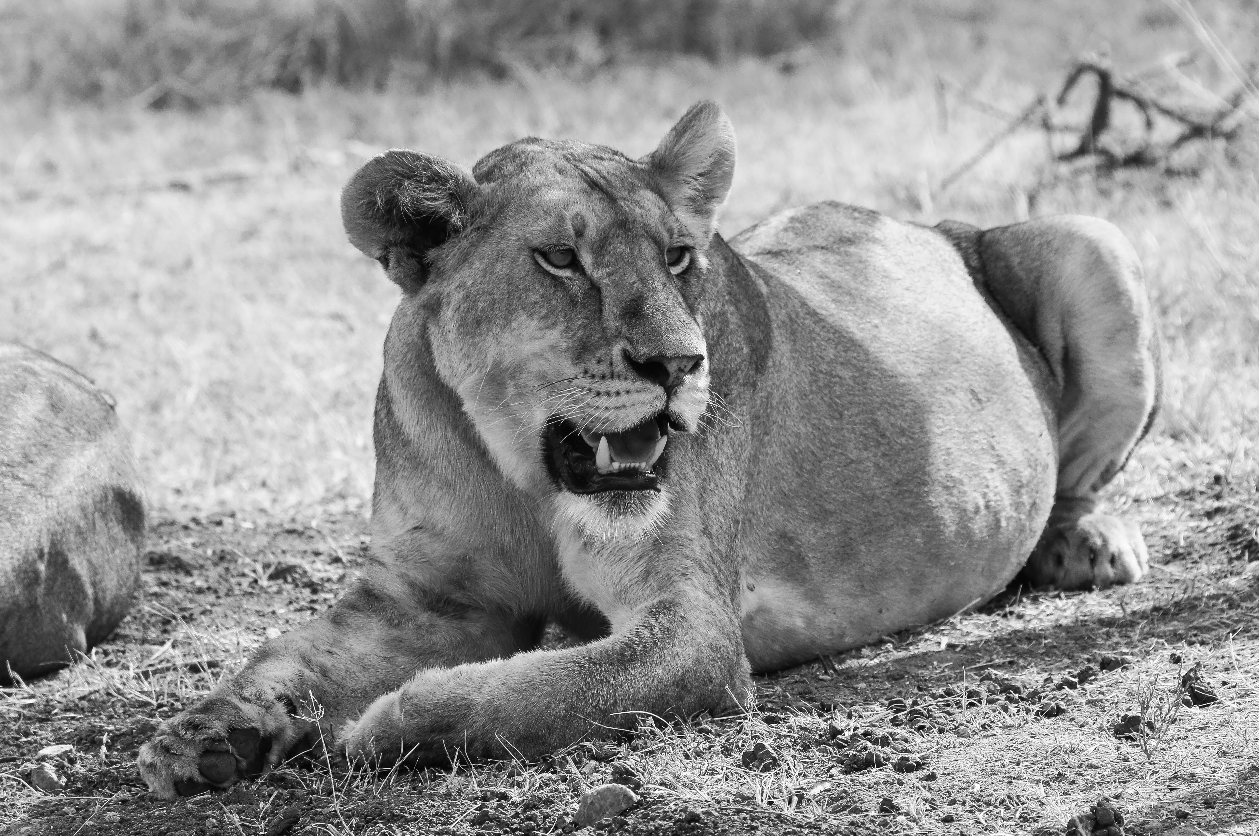 99171 download wallpaper Animals, Bw, Chb, Lioness, Big Cat screensavers and pictures for free