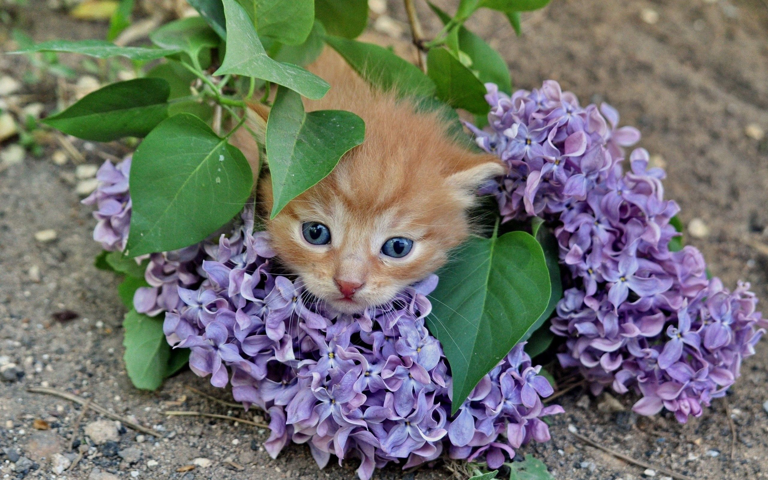 55814 Screensavers and Wallpapers Lilac for phone. Download Animals, Flowers, Lilac, Kitty, Kitten, Branch pictures for free