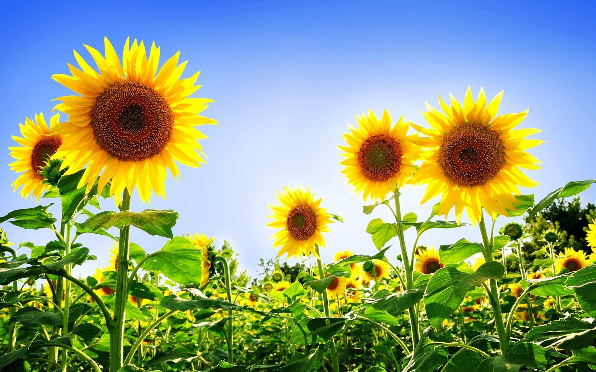 45313 скачать обои Растения, Подсолнухи - заставки и картинки бесплатно