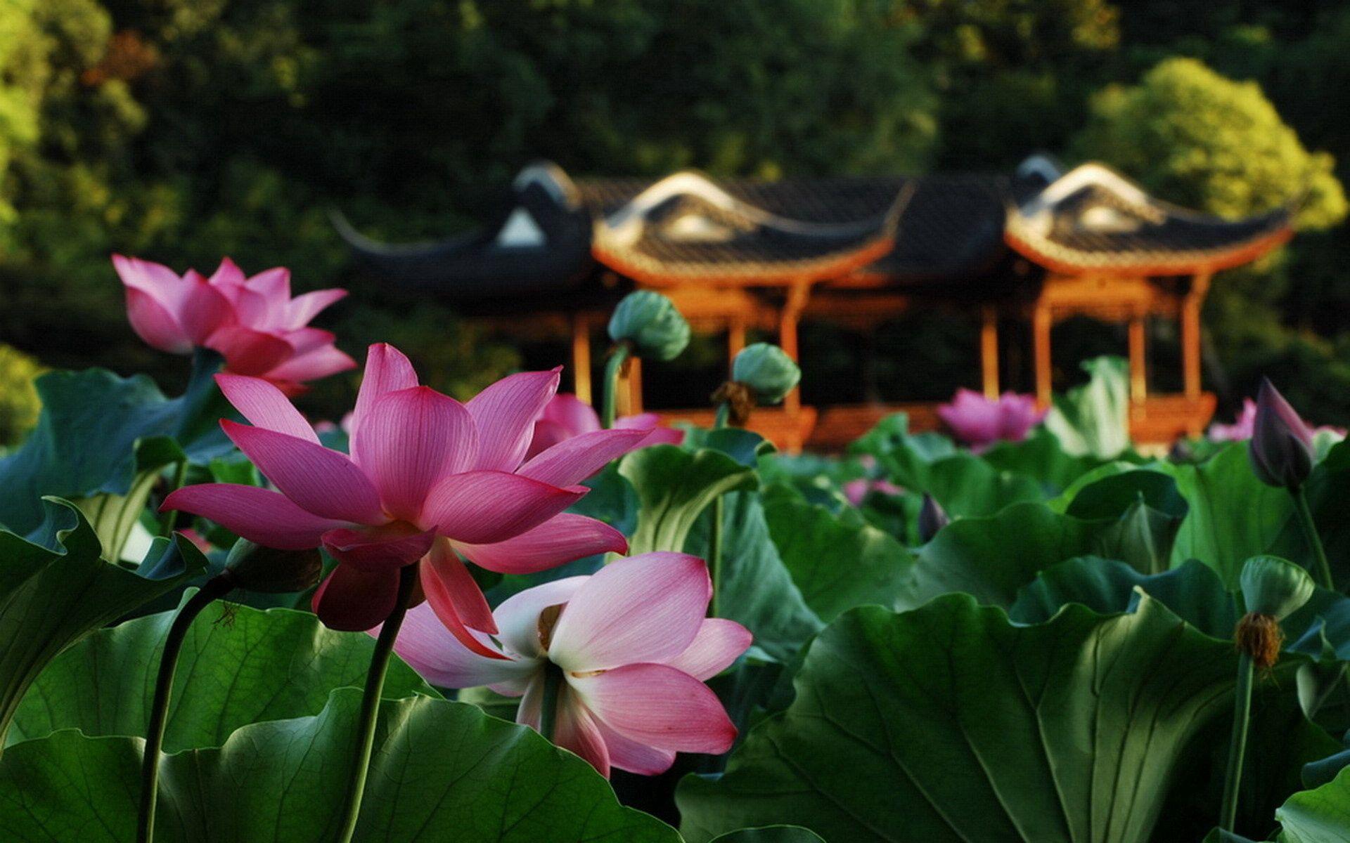 123626 Hintergrundbild herunterladen Natur, Blumen, Blätter, Lotus, Makro, Teich, Alkoven, Bower - Bildschirmschoner und Bilder kostenlos