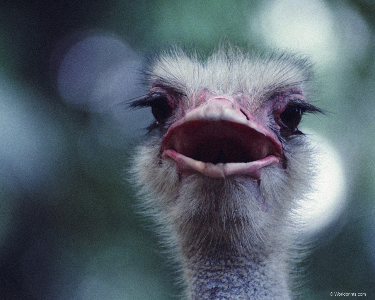 7502 download wallpaper Animals, Ostrich screensavers and pictures for free
