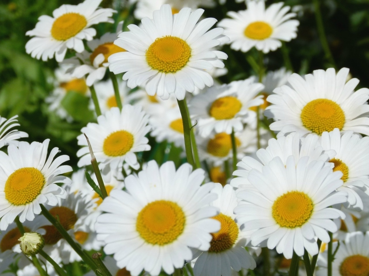 45764 download wallpaper Plants, Flowers, Camomile screensavers and pictures for free
