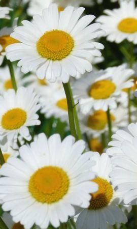 45764 télécharger le fond d'écran Plantes, Fleurs, Camomille - économiseurs d'écran et images gratuitement