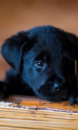 66178 download wallpaper Animals, Puppy, Labrador, Retriever, Sight, Opinion screensavers and pictures for free
