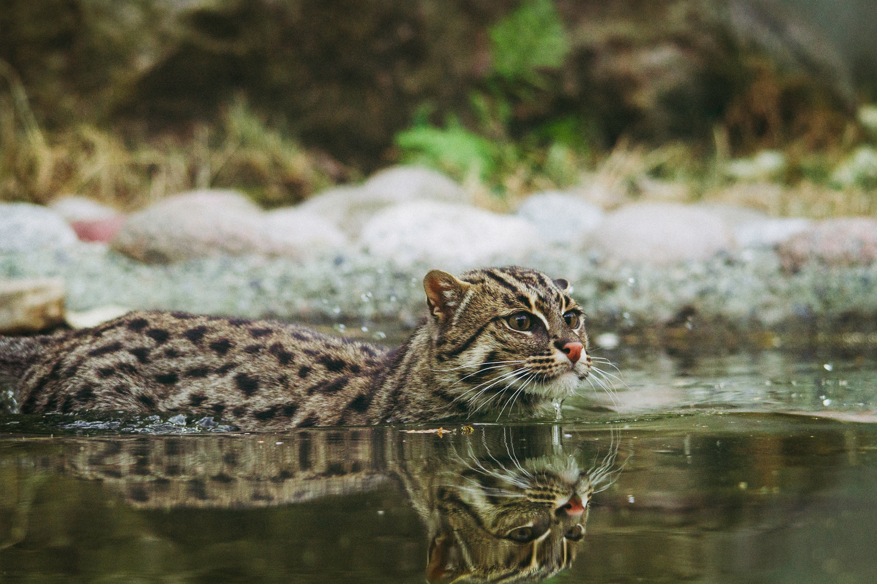 126157 download wallpaper Animals, Fishing Cat, Fish Cat, Mottled Cat, Ratchet Cat, Water, To Swim, Swim screensavers and pictures for free