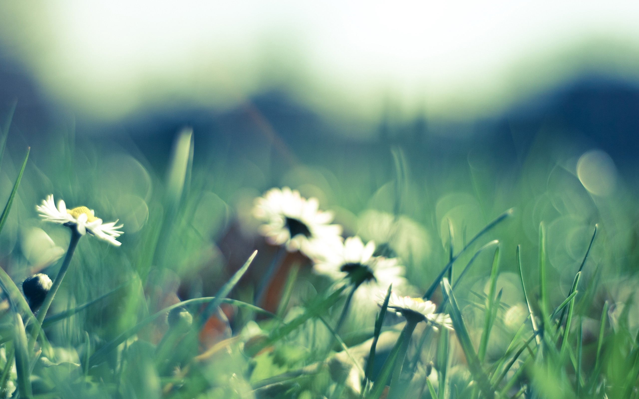 45205 download wallpaper Plants, Flowers, Camomile screensavers and pictures for free