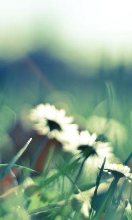 45205 télécharger le fond d'écran Plantes, Fleurs, Camomille - économiseurs d'écran et images gratuitement