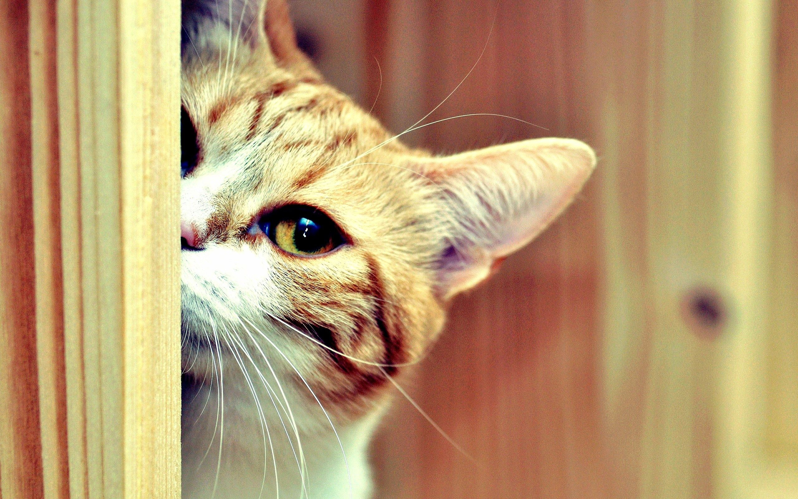 132613 download wallpaper Animals, Cat, Muzzle, Eyes, Peek Out, Look Out, Hide screensavers and pictures for free