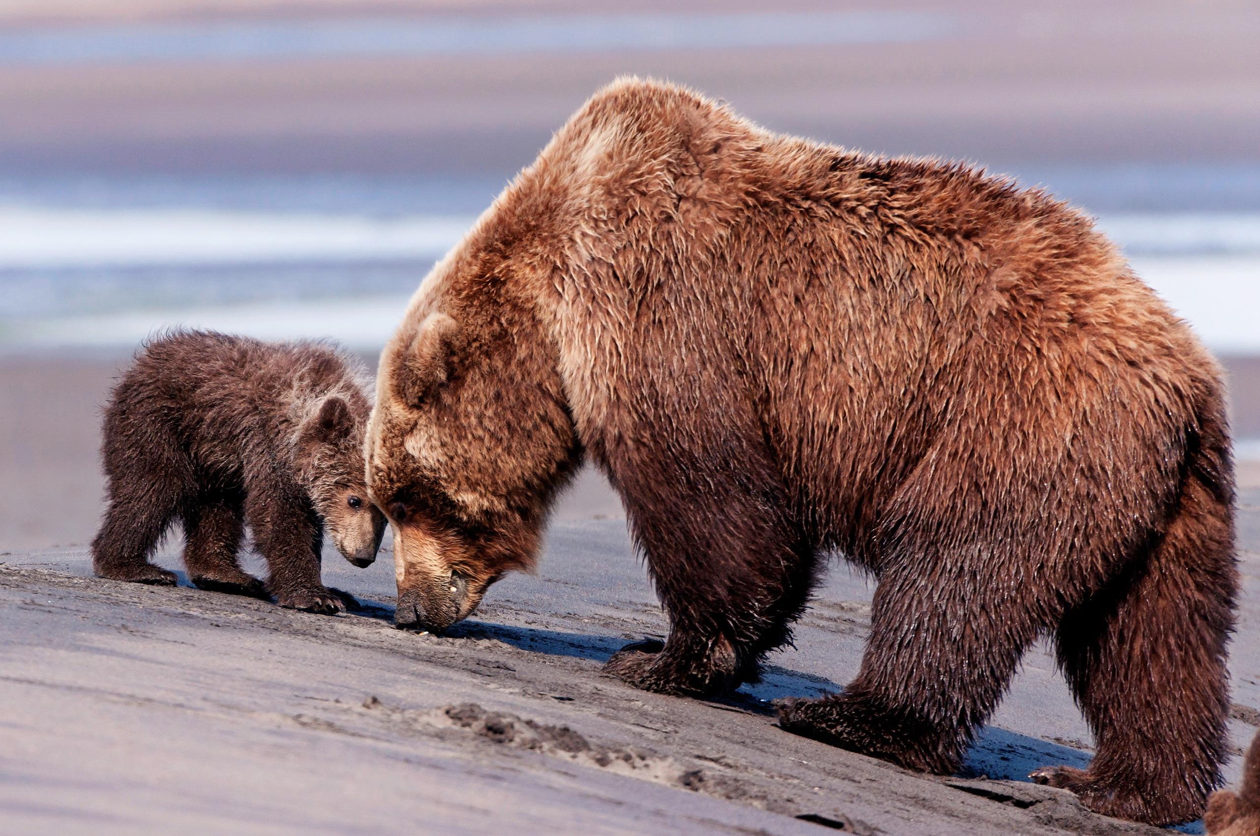 113835 Заставки и Обои Медведи на телефон. Скачать Животные, Медведи, Пара, Забота, Детеныш картинки бесплатно