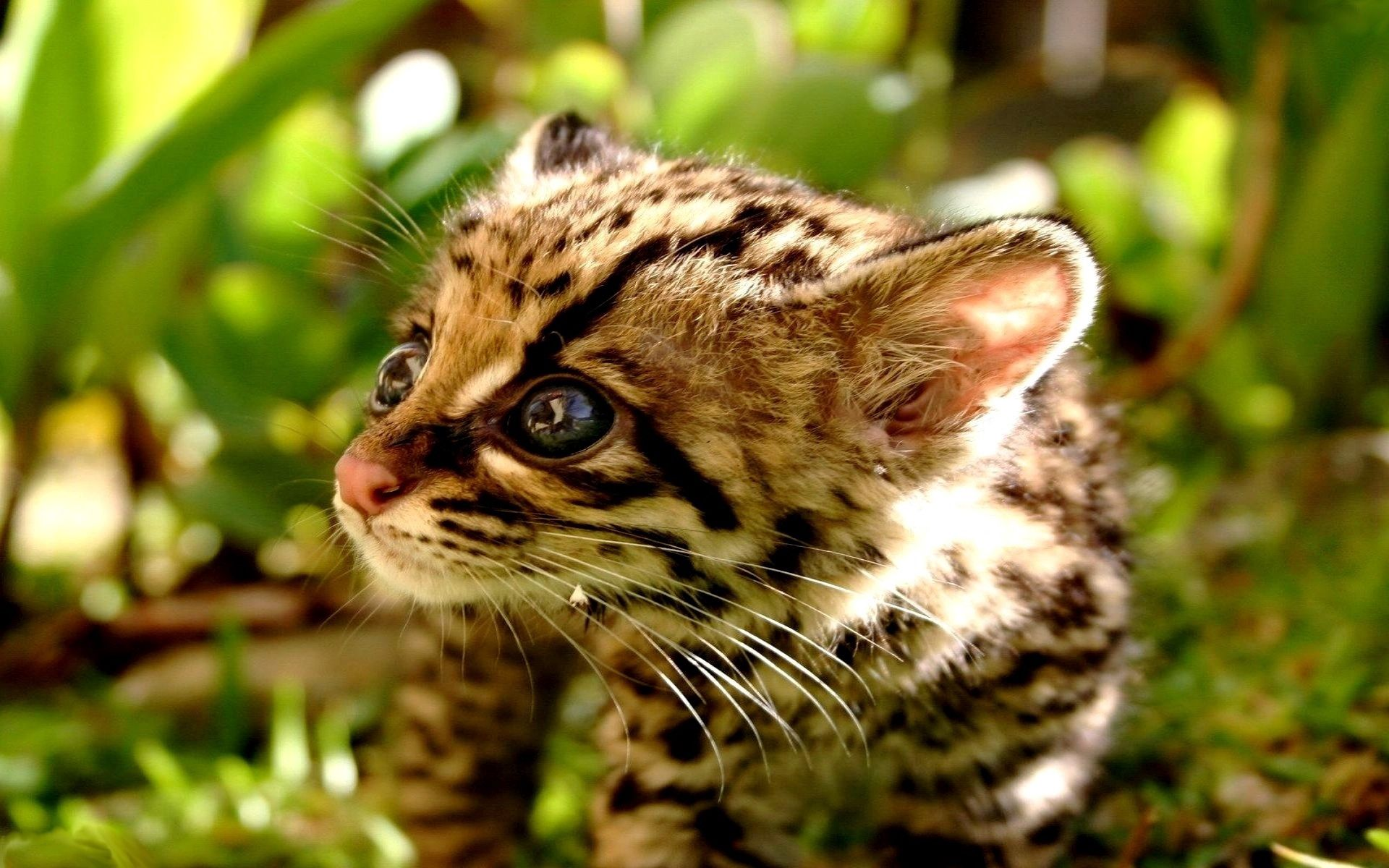 66532 download wallpaper Animals, Cheetah, Cat, Young, Kid, Tot, Joey, Seal screensavers and pictures for free