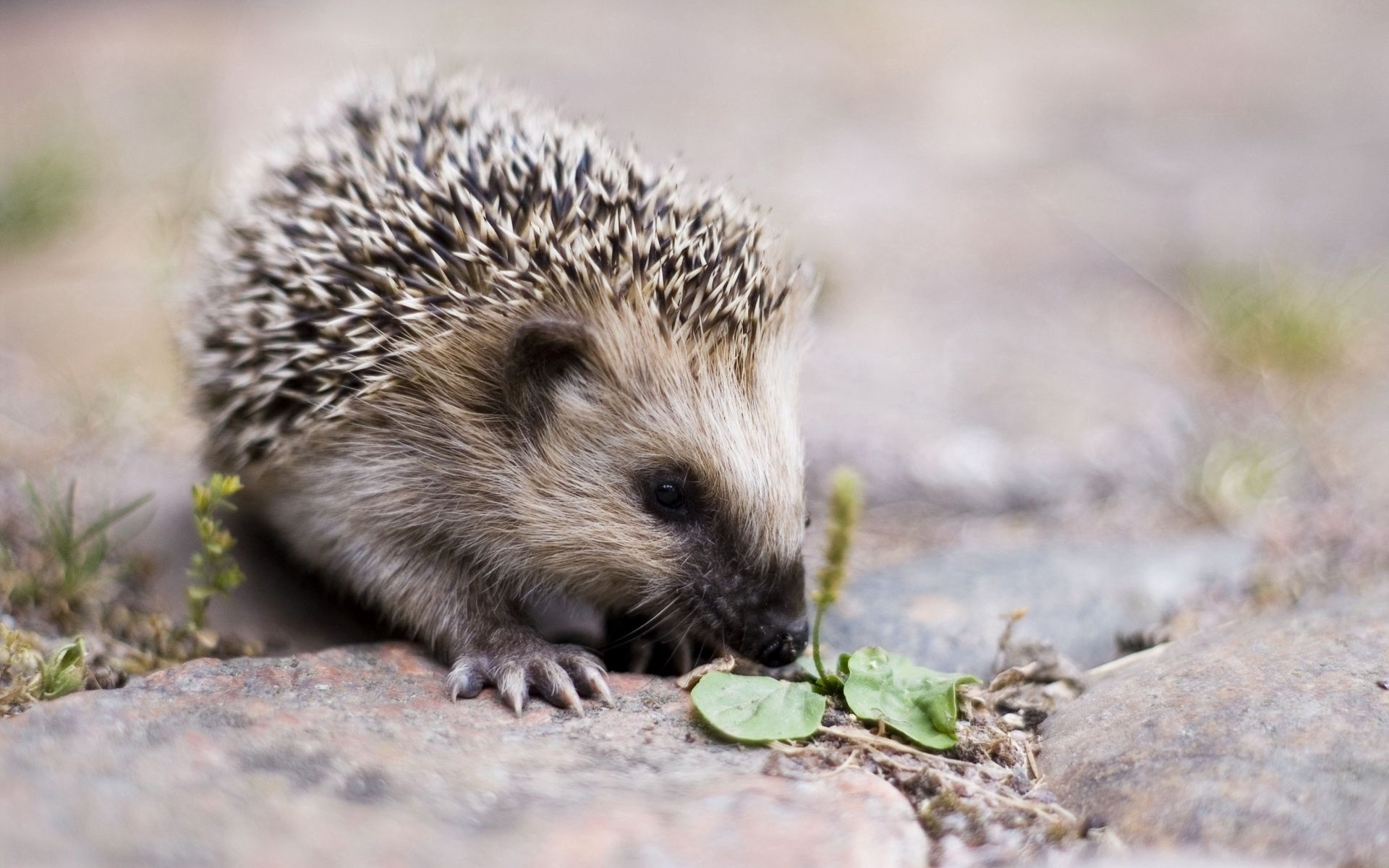 53133 download wallpaper Animals, Hedgehog, Spout, Nice, Sweetheart, Barbed, Spiny screensavers and pictures for free