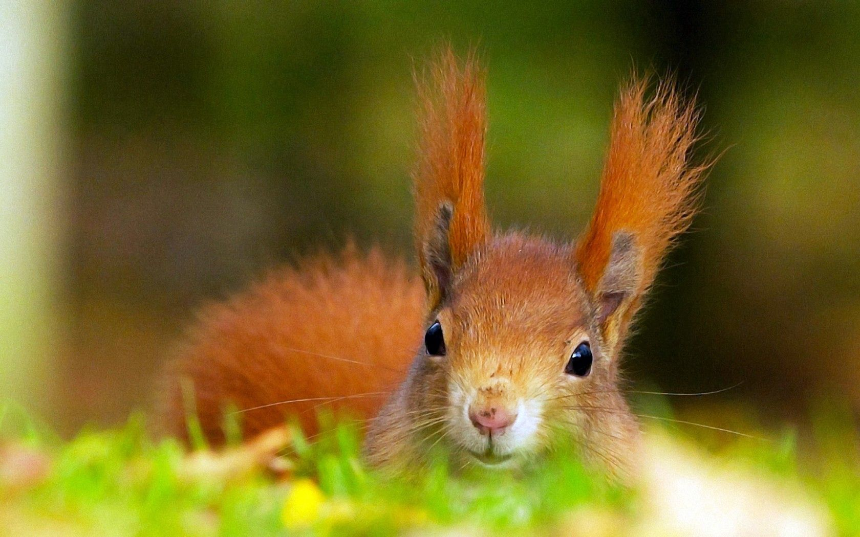 91144 download wallpaper Animals, Fluffy, Redhead, Squirrel, Ears, Head screensavers and pictures for free