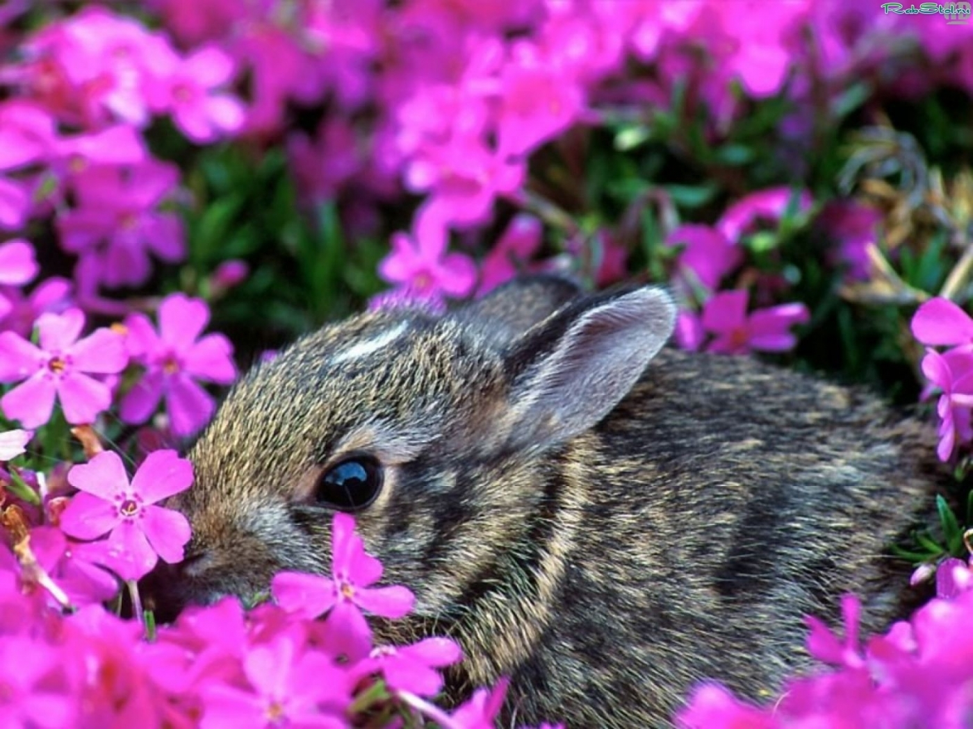 27916 download wallpaper Animals, Rabbits screensavers and pictures for free