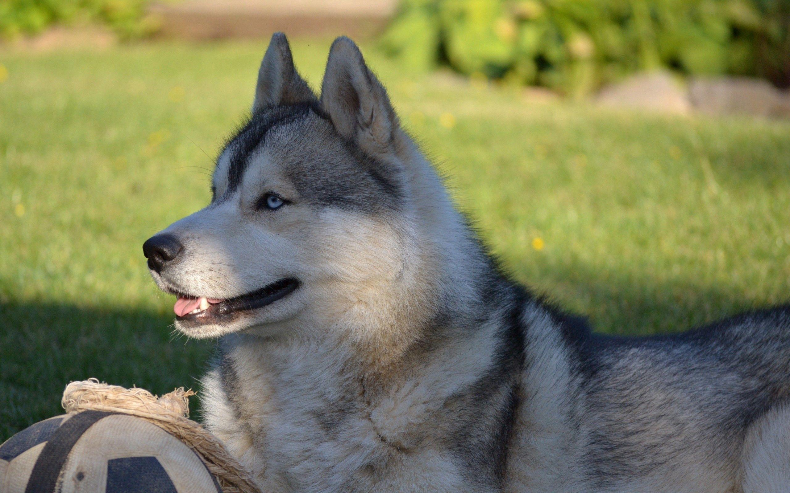 114963 скачать обои Животные, Собака, Хаска, Мяч, Трава, Лежать, Профиль - заставки и картинки бесплатно