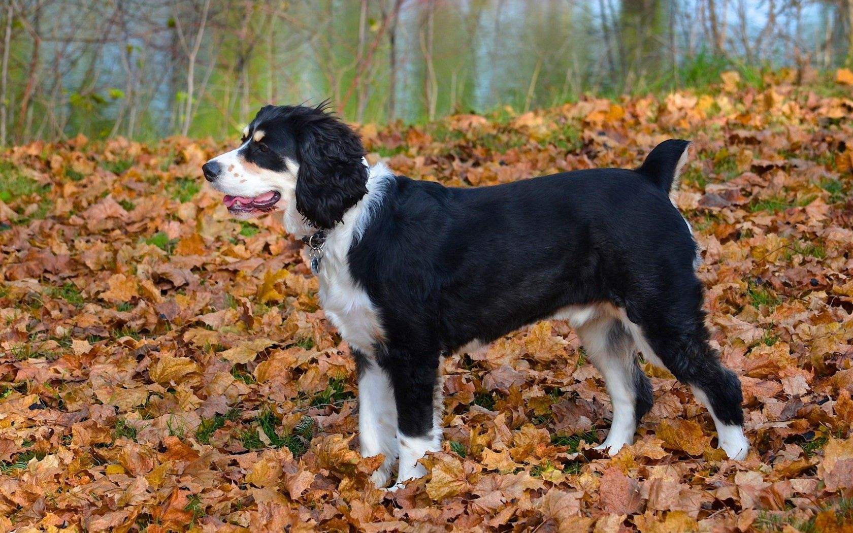 142712 download wallpaper Animals, Dog, Autumn, Leaves screensavers and pictures for free