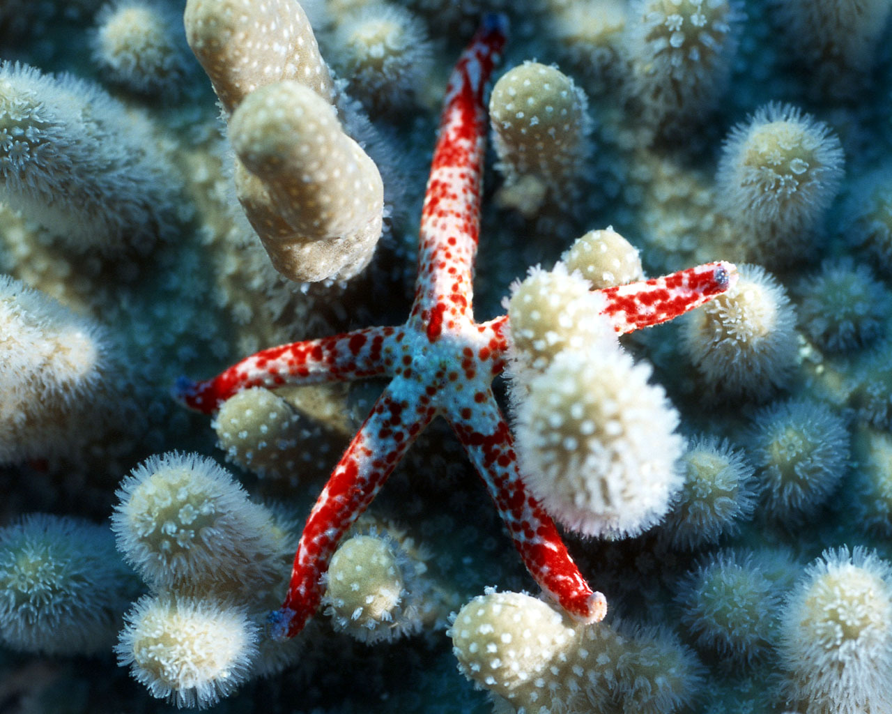 12664 download wallpaper Animals, Sea, Starfish screensavers and pictures for free