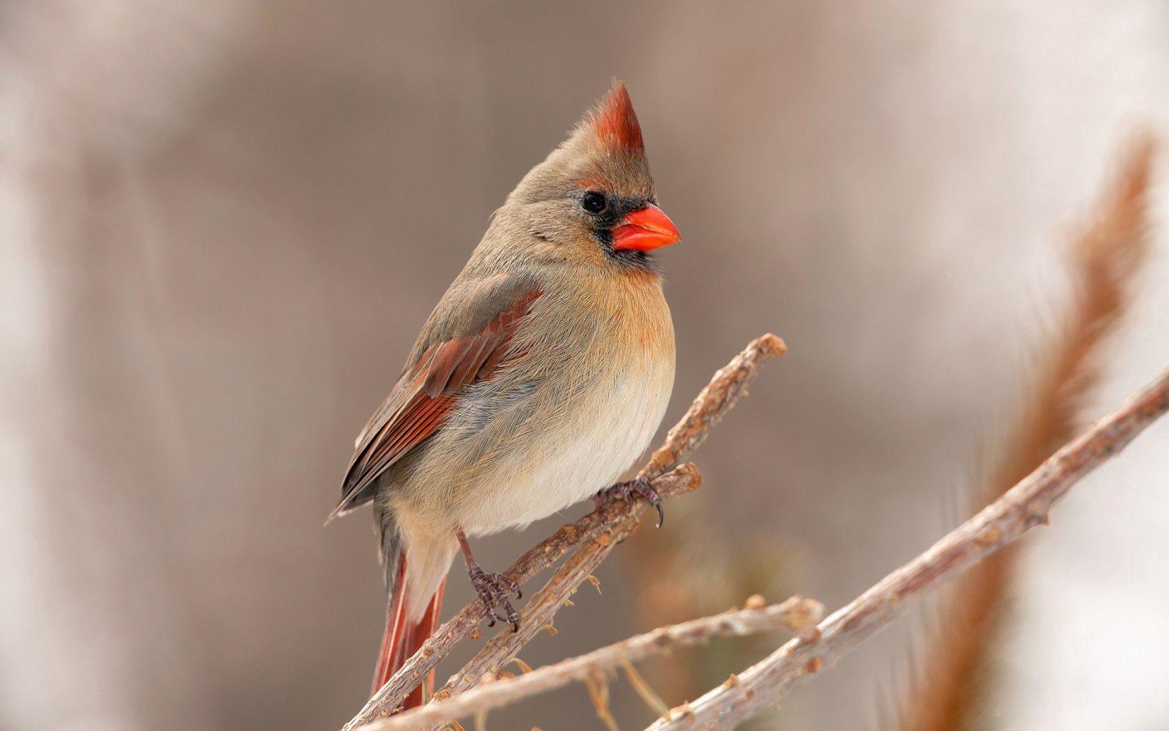 138574 télécharger le fond d'écran Oiseau, Animaux, Branche, Cardinal - économiseurs d'écran et images gratuitement