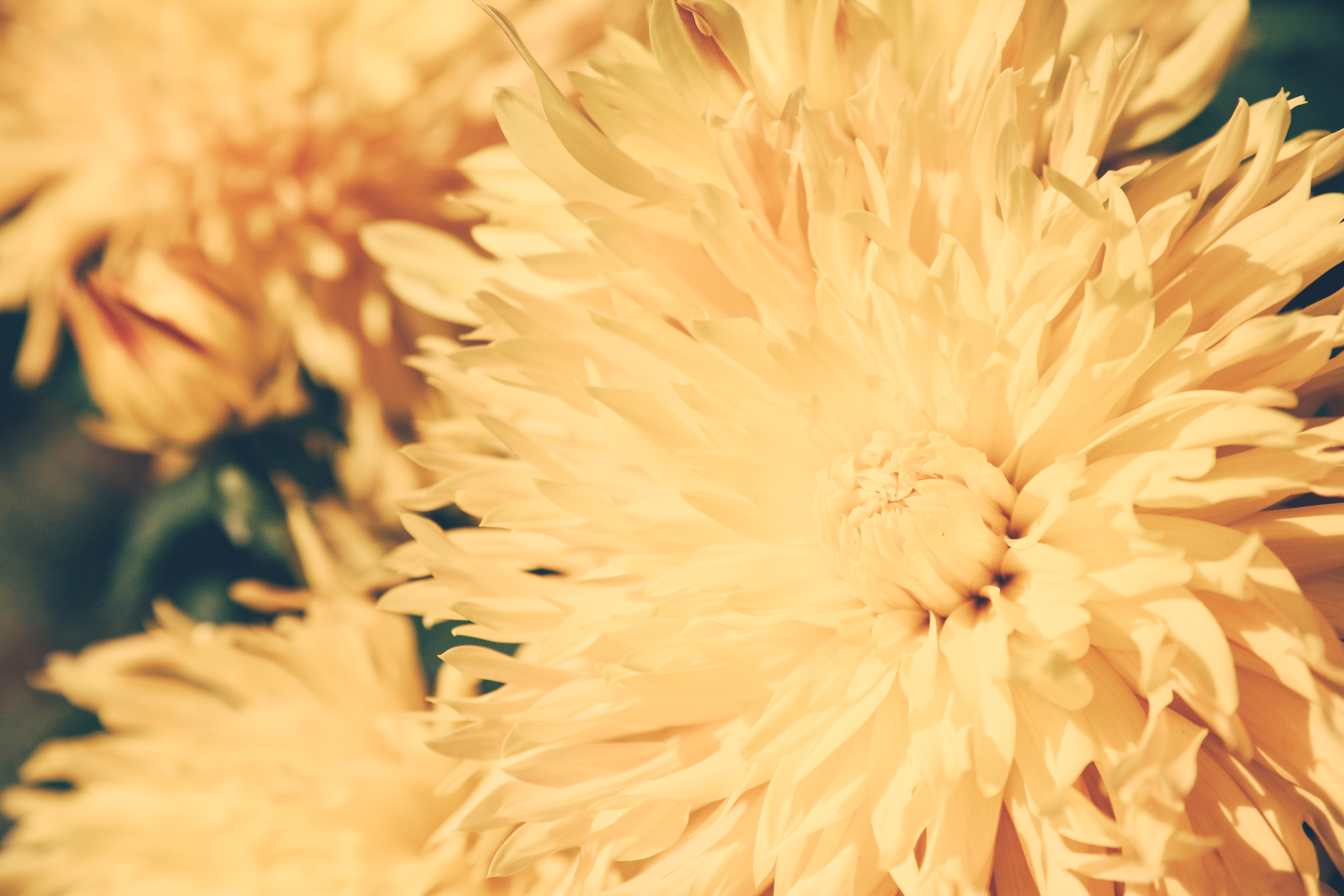 93911 download wallpaper Flowers, Chrysanthemum, Petals, Flower, Light Coloured, Light screensavers and pictures for free