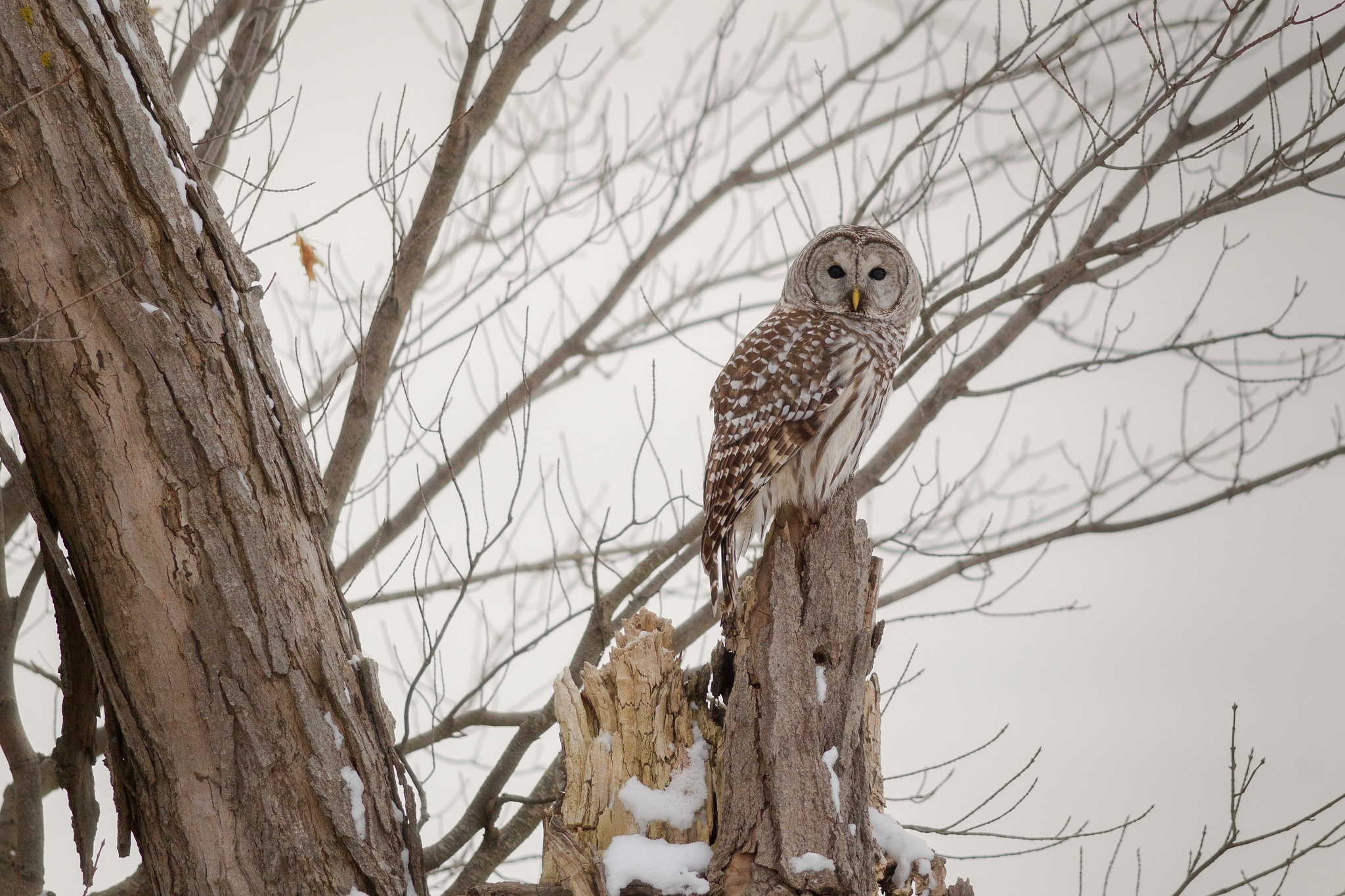 122991 download wallpaper Winter, Animals, Owl, Wood, Forest, Tree screensavers and pictures for free