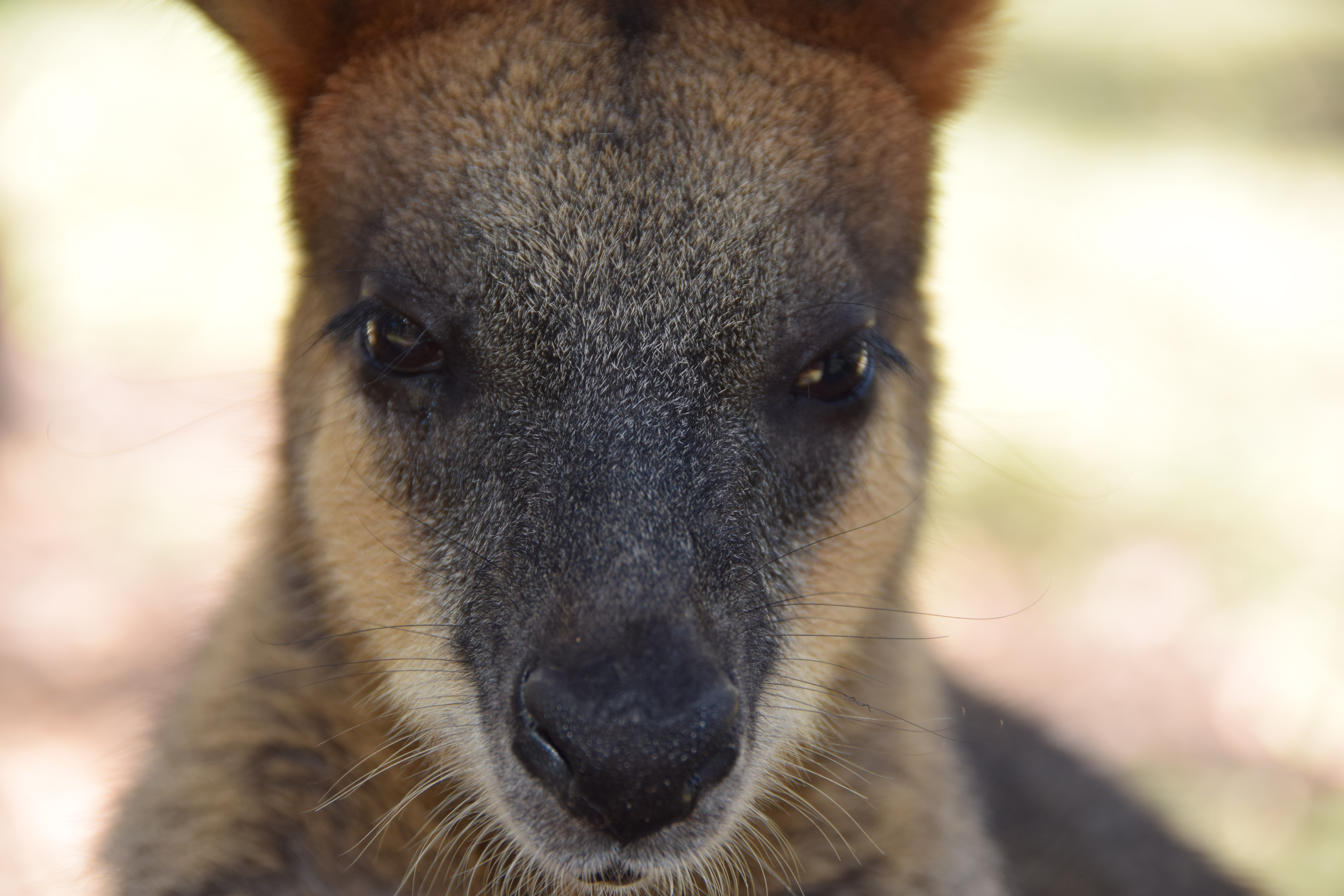 53057 Screensavers and Wallpapers Nose for phone. Download Animals, Kangaroo, Muzzle, Eyes, Nose pictures for free