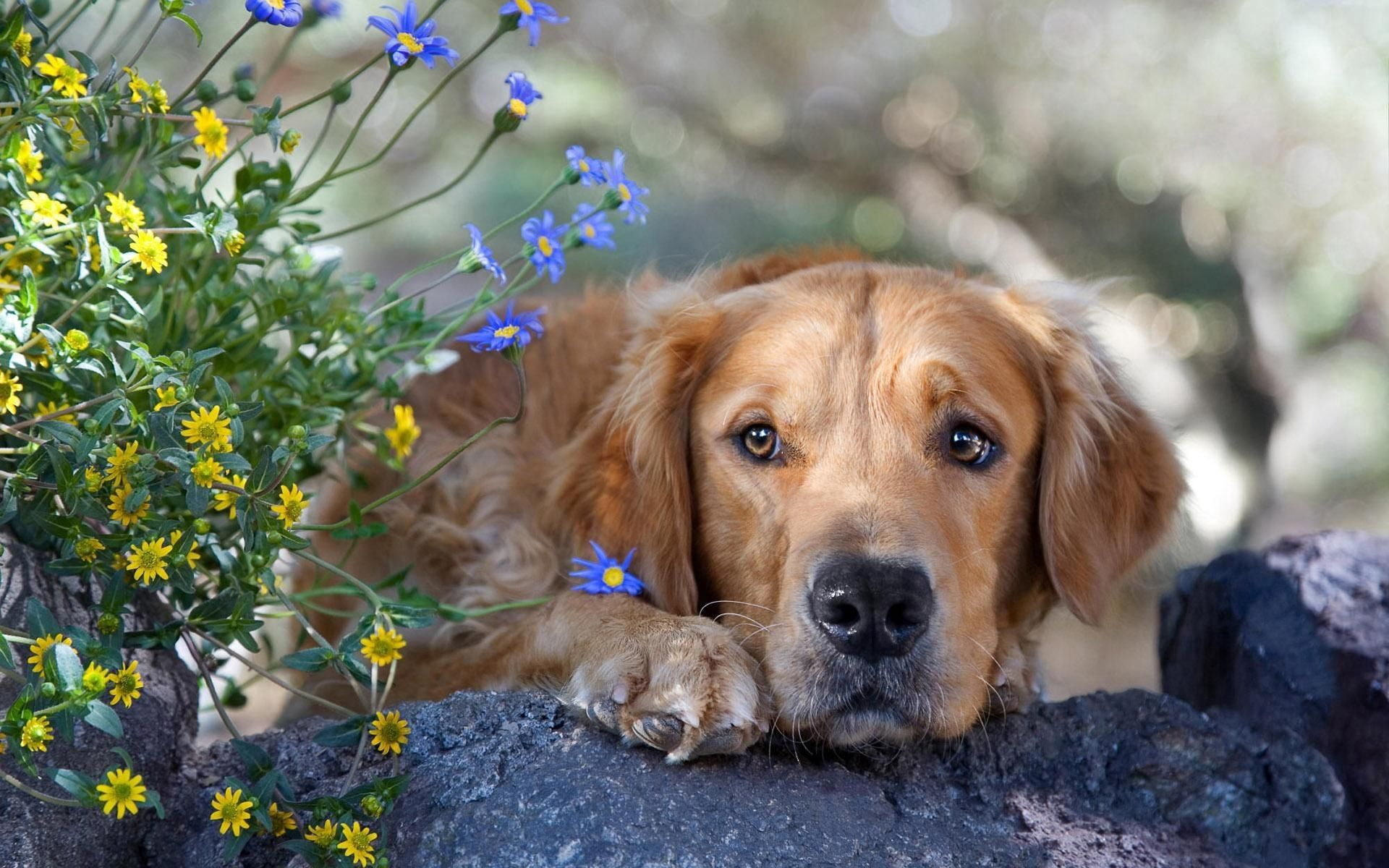 138930 download wallpaper Animals, Dog, Muzzle, Grass, Sadness, Sorrow, Rock, Stone, Flowers screensavers and pictures for free